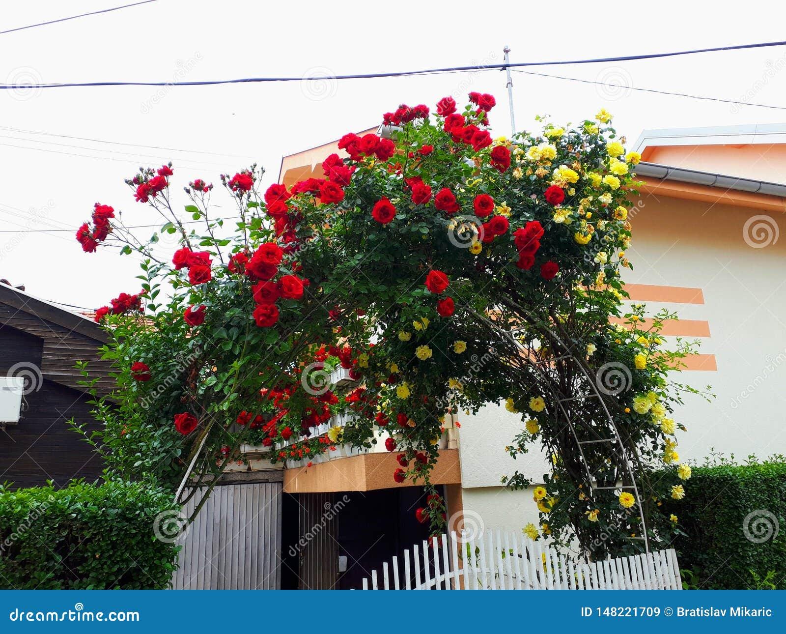 Härlig husport som dekoreras med rosor