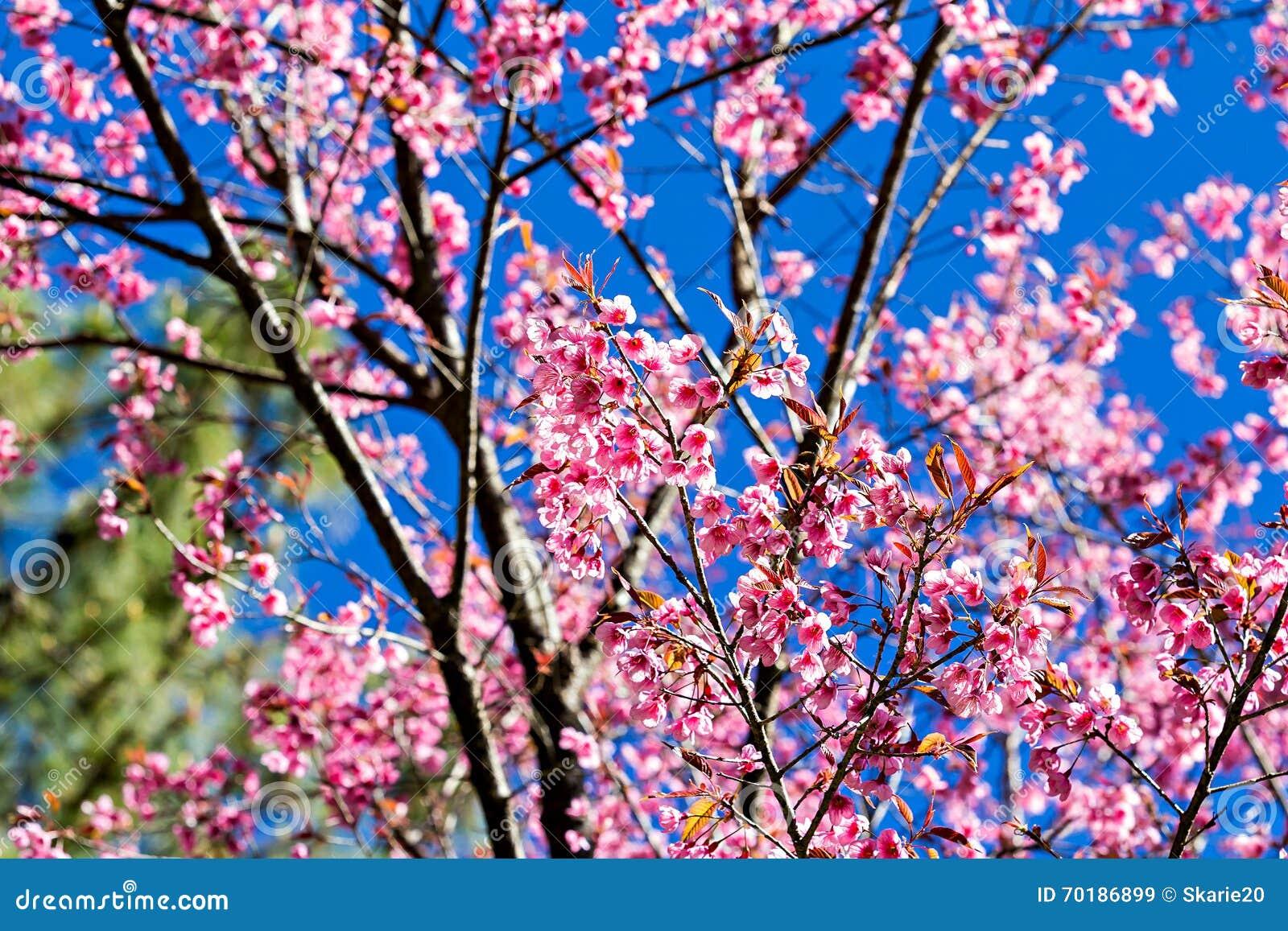 Härlig körsbärsröd blomning eller sakura