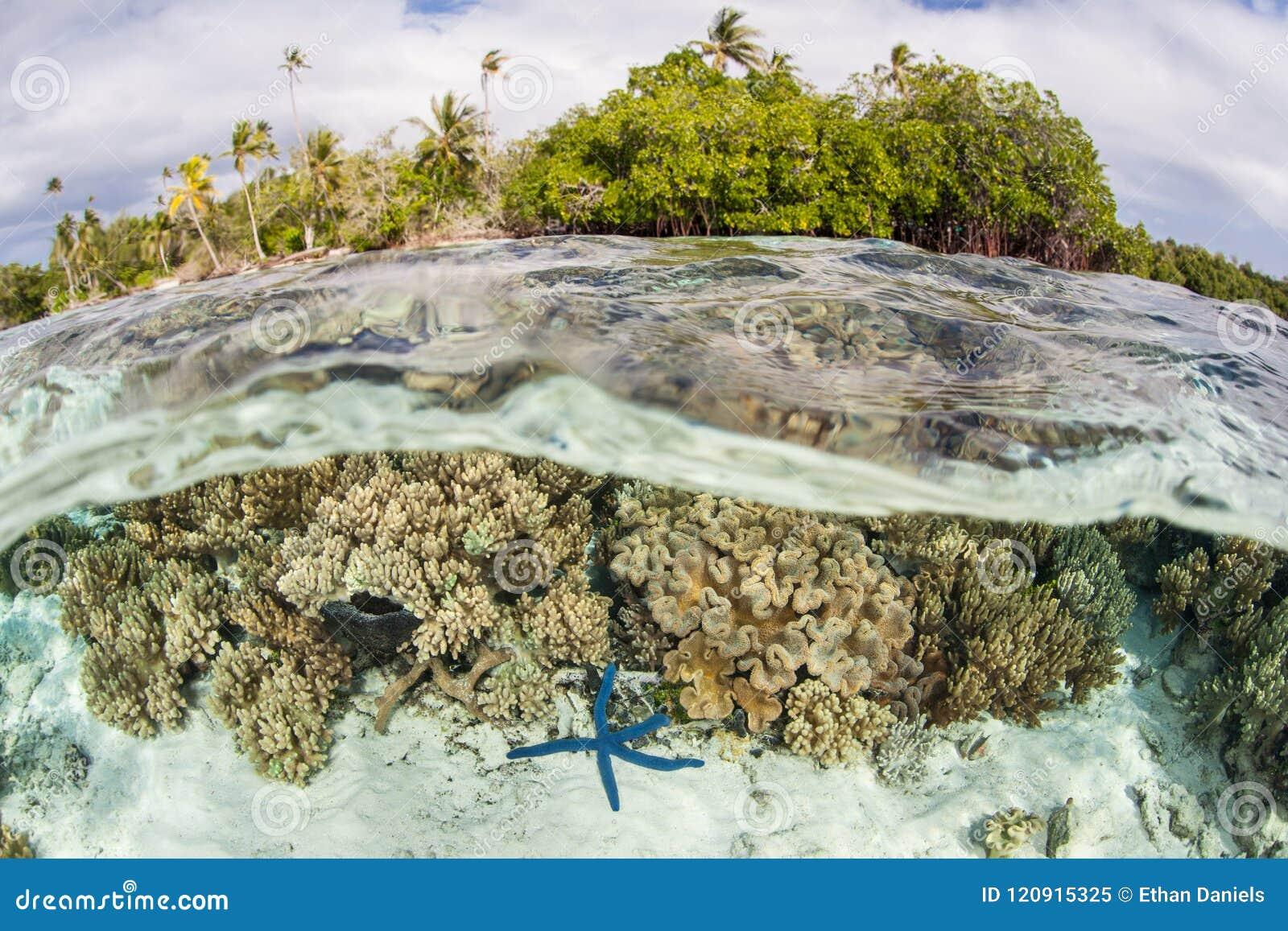 Härlig korall och sjöstjärnan blir grund in av Solomon Islands