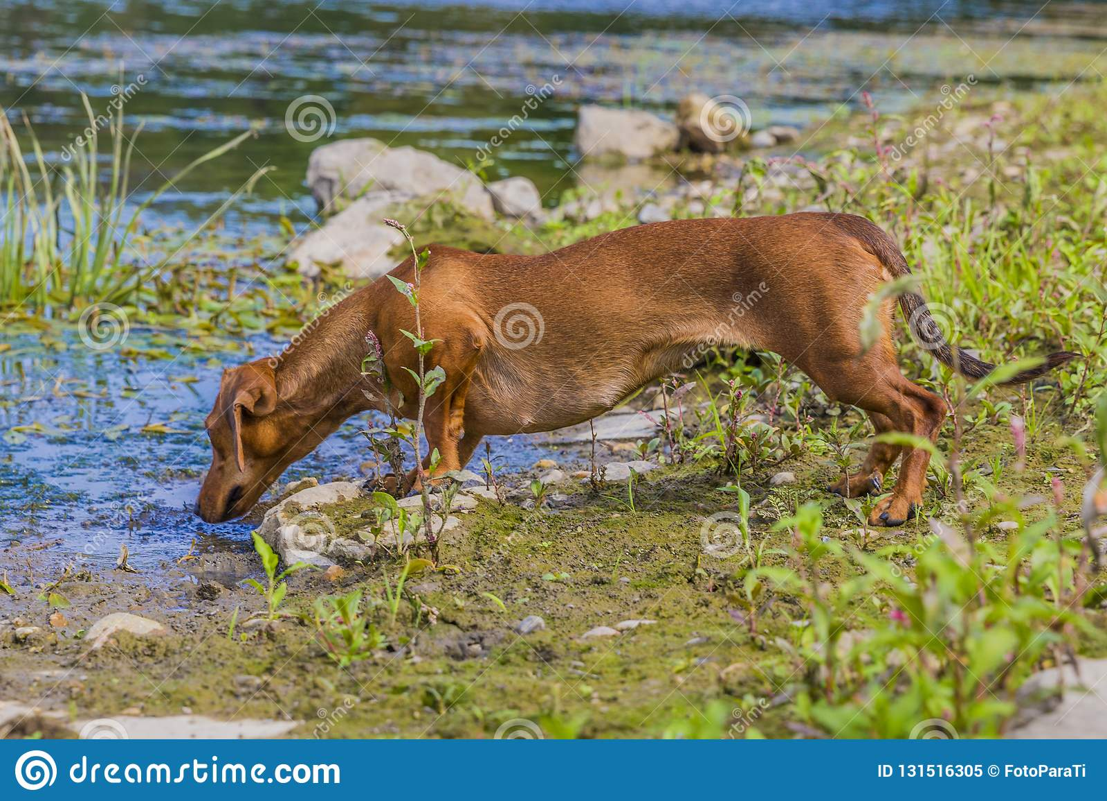 Härlig korvhund som luktar något i floden