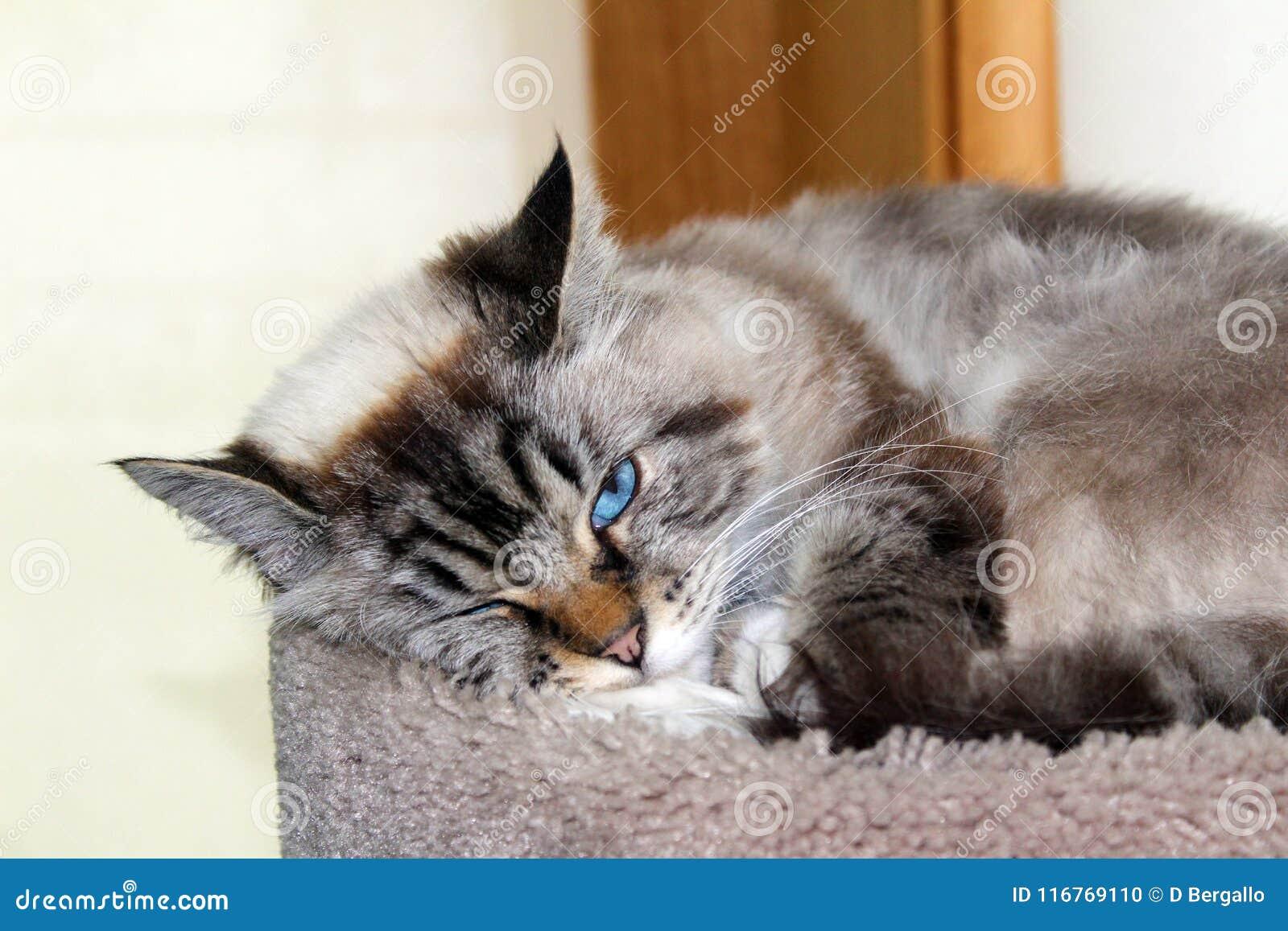 Härlig kvinnlig katt för blåa ögon, hypoallergenic katt Djur som kan vara älsklings- av folket, som är allergiskt till katter