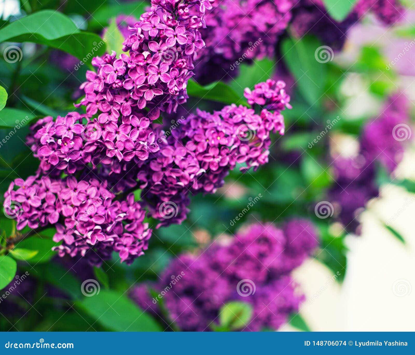 H?rlig lila med gr?na sidor i sommartr?dg?rden