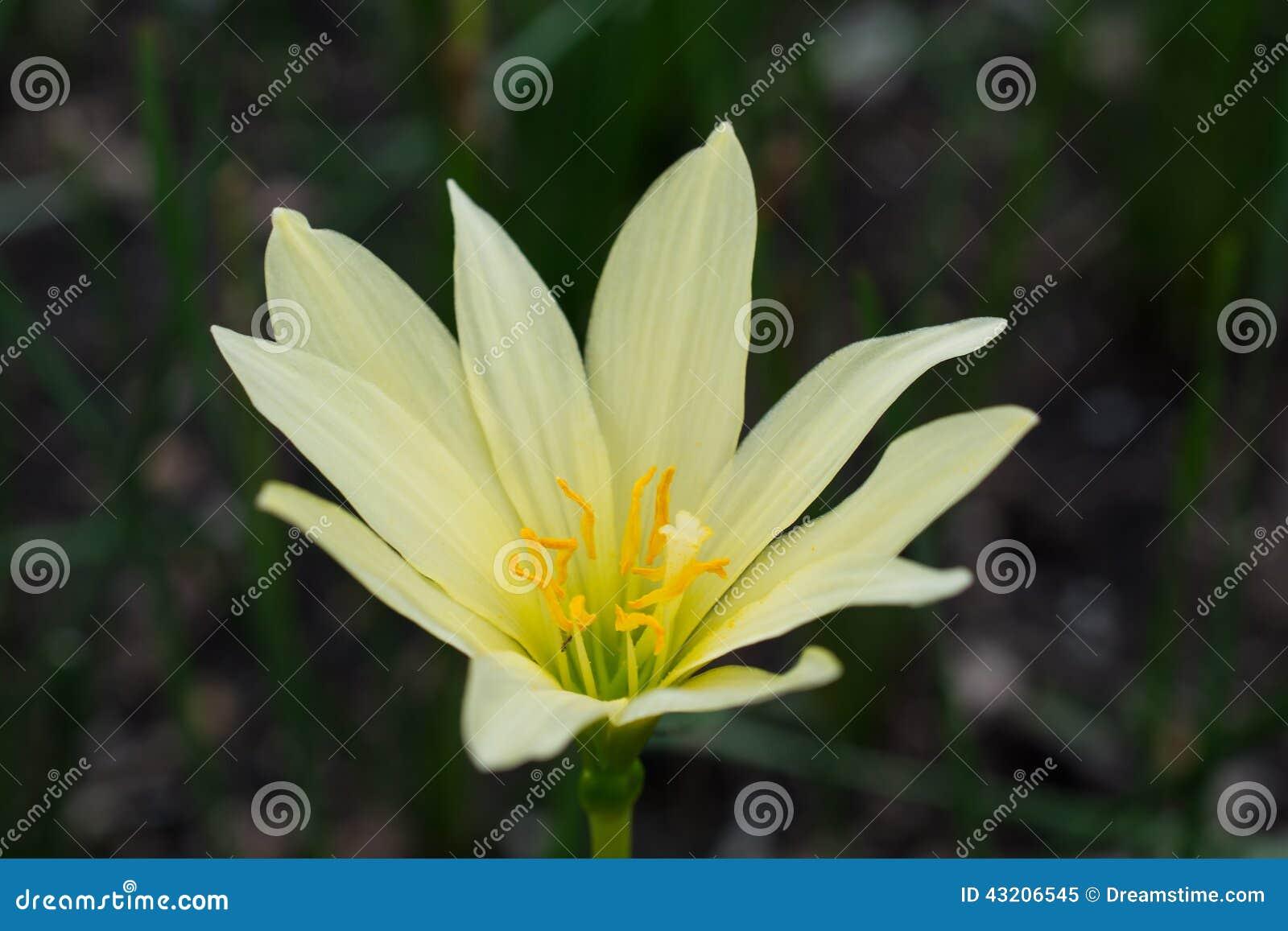 Download Härlig lilja fotografering för bildbyråer. Bild av lilja - 43206545