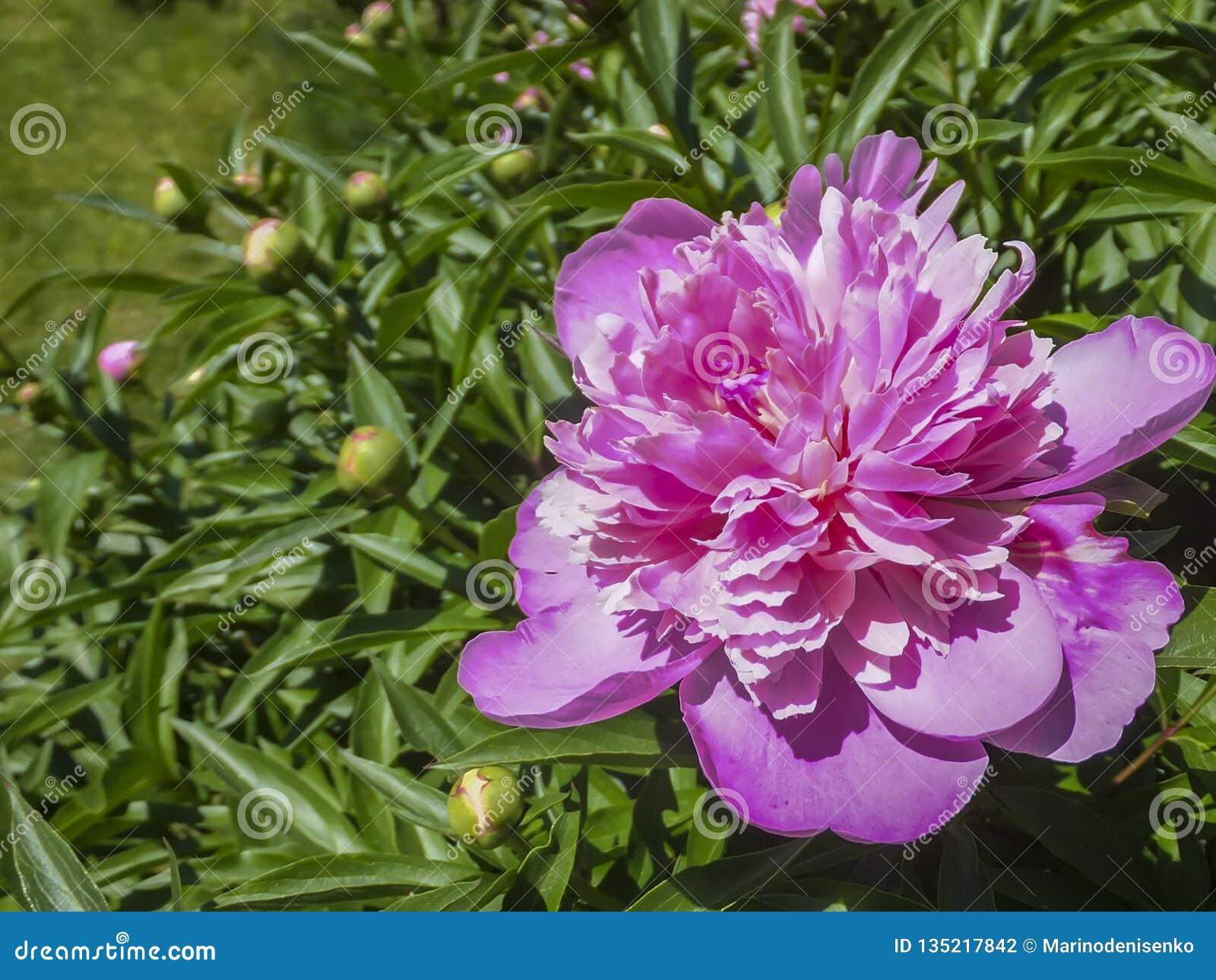 Härlig ljus rosa pion som blommar under solen mot det mörkt - gräsplan av trädgården