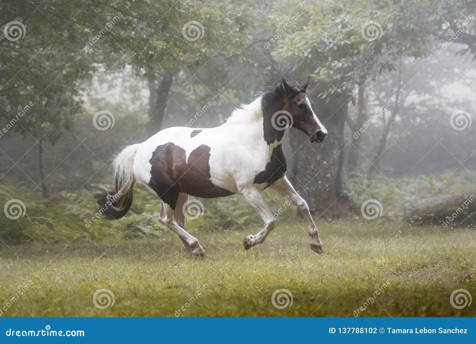 Härlig målarfärghäst som galopperar i en skog i en dimmig morgon