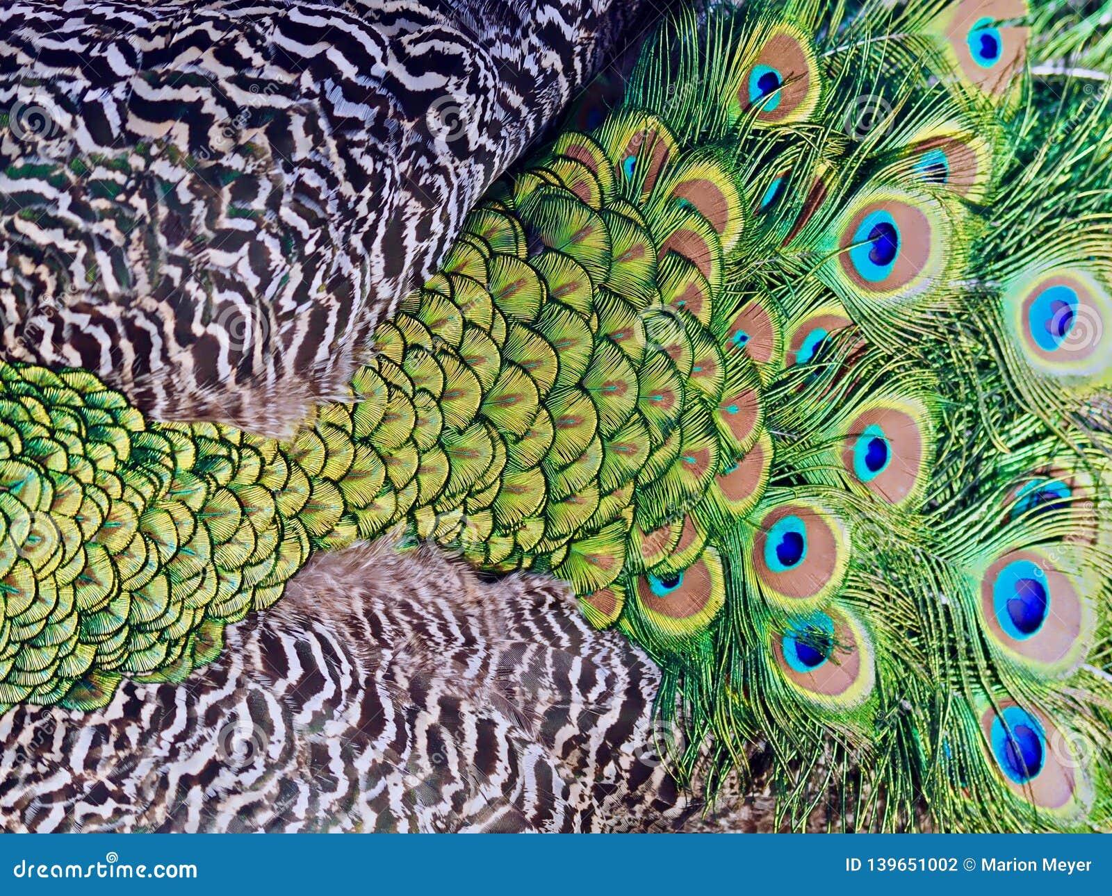 Härlig makro av påfågelfjädrar