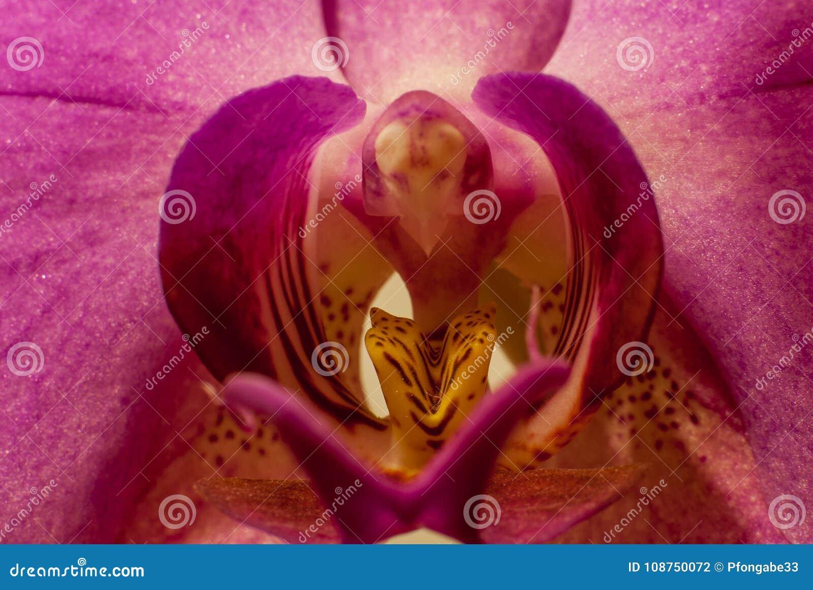 Härlig malvafärgad makro för orkidéphalaenopsisaphrodite på mittståndare