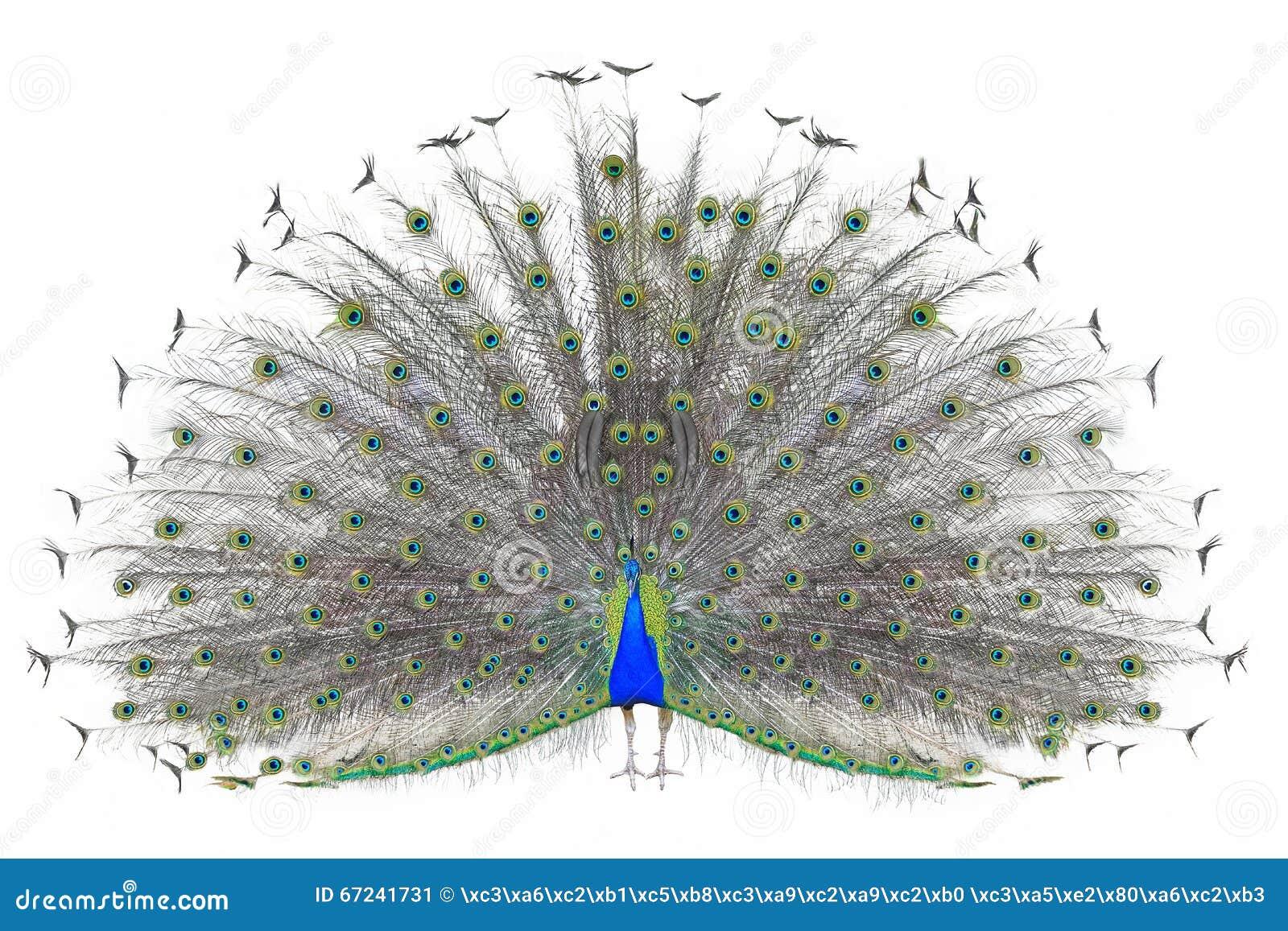 Härlig manlig indisk påfågel som visar svansfjädrar som isoleras på vit bakgrund, främre sikt