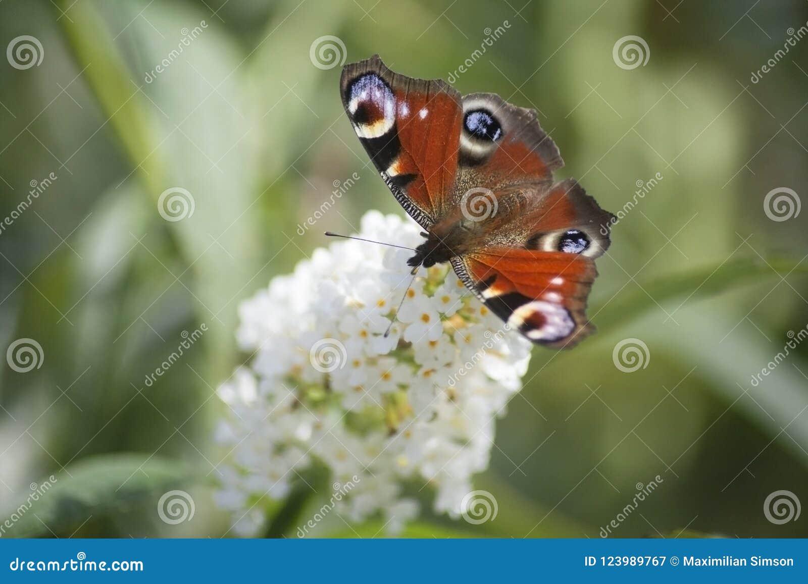 Härlig monarkfjäril på en vit blomma