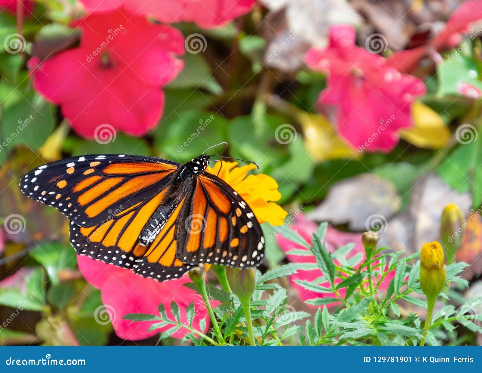 Härlig monarkfjäril under blommor