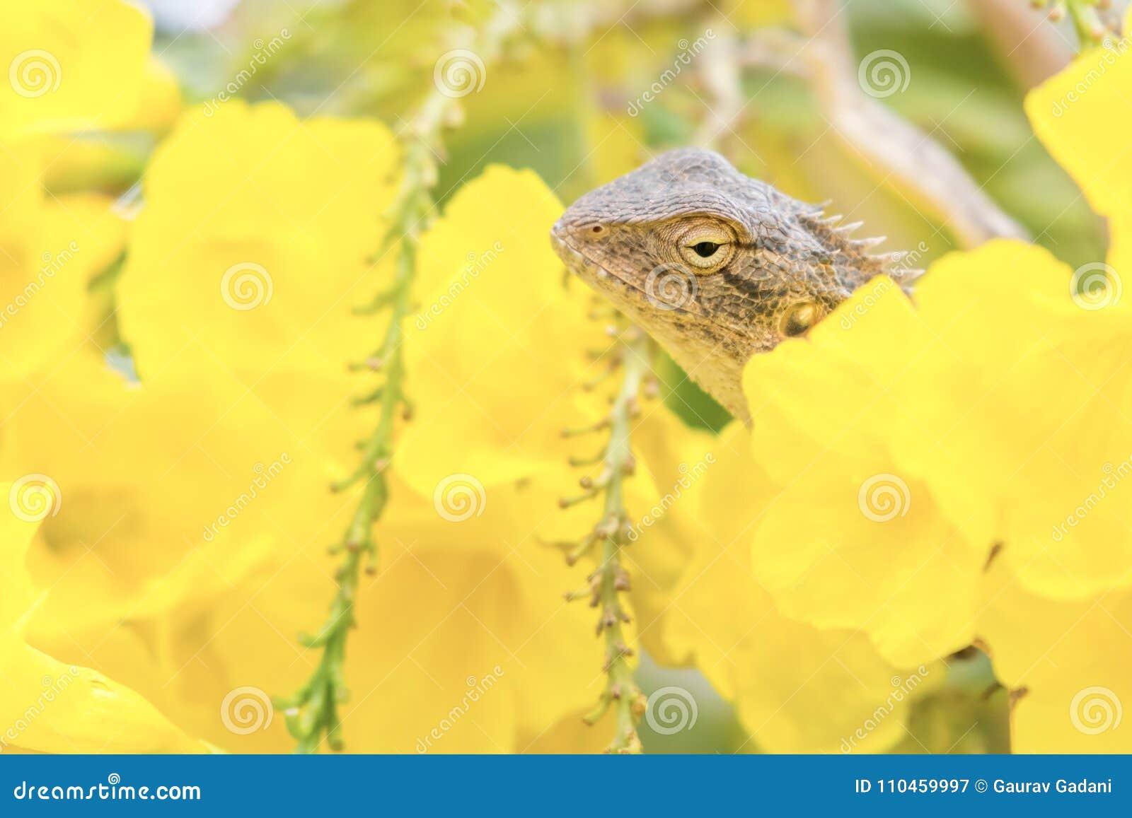 Härlig monokrom uppsökt drakeödla in - mellan gula blommor