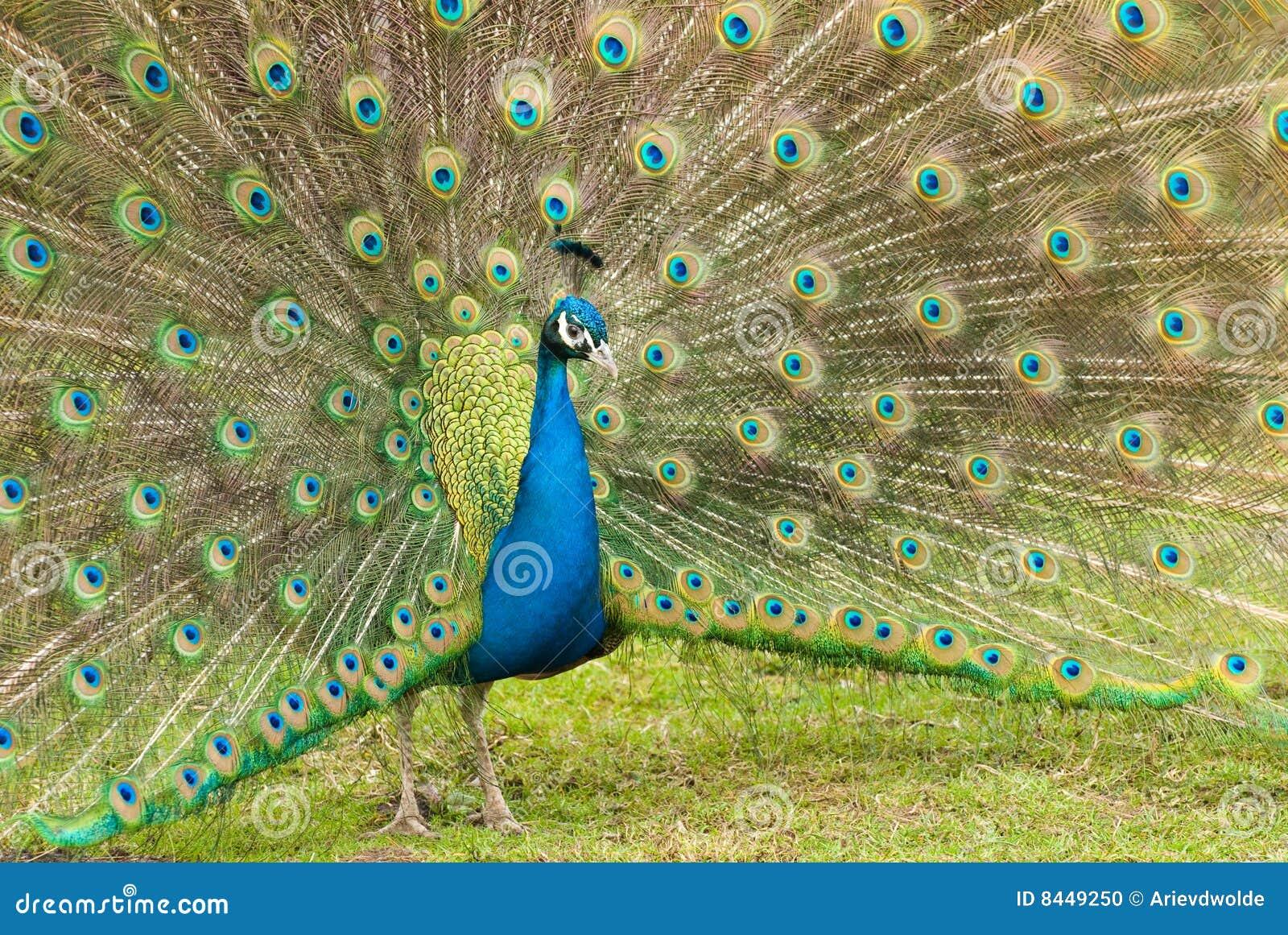 Härlig påfågel