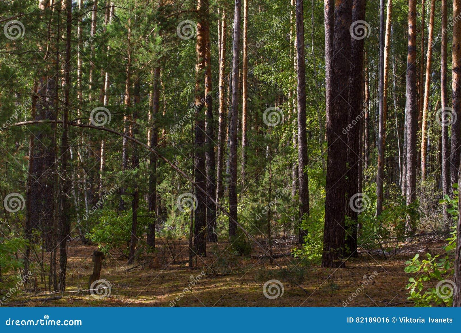 Härlig panorama av pinjeskogen med sommardag Barrträd Hållbart ekosystem