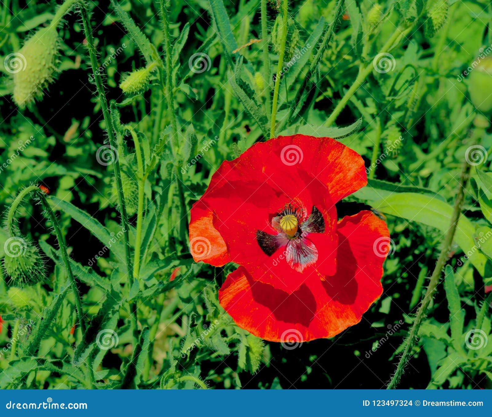 Härlig röd blomma med fjärilen Mark In Kashmir Valley India