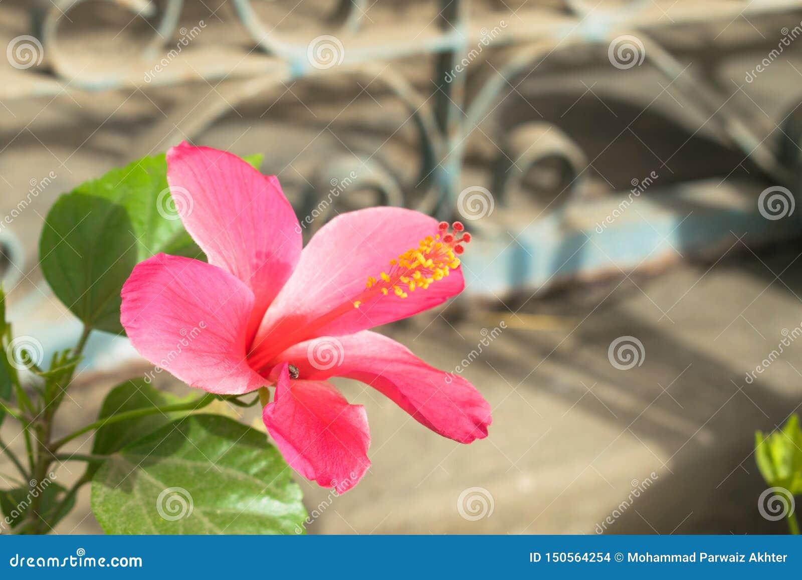Härlig röd hibiskusblomma i en trädgård