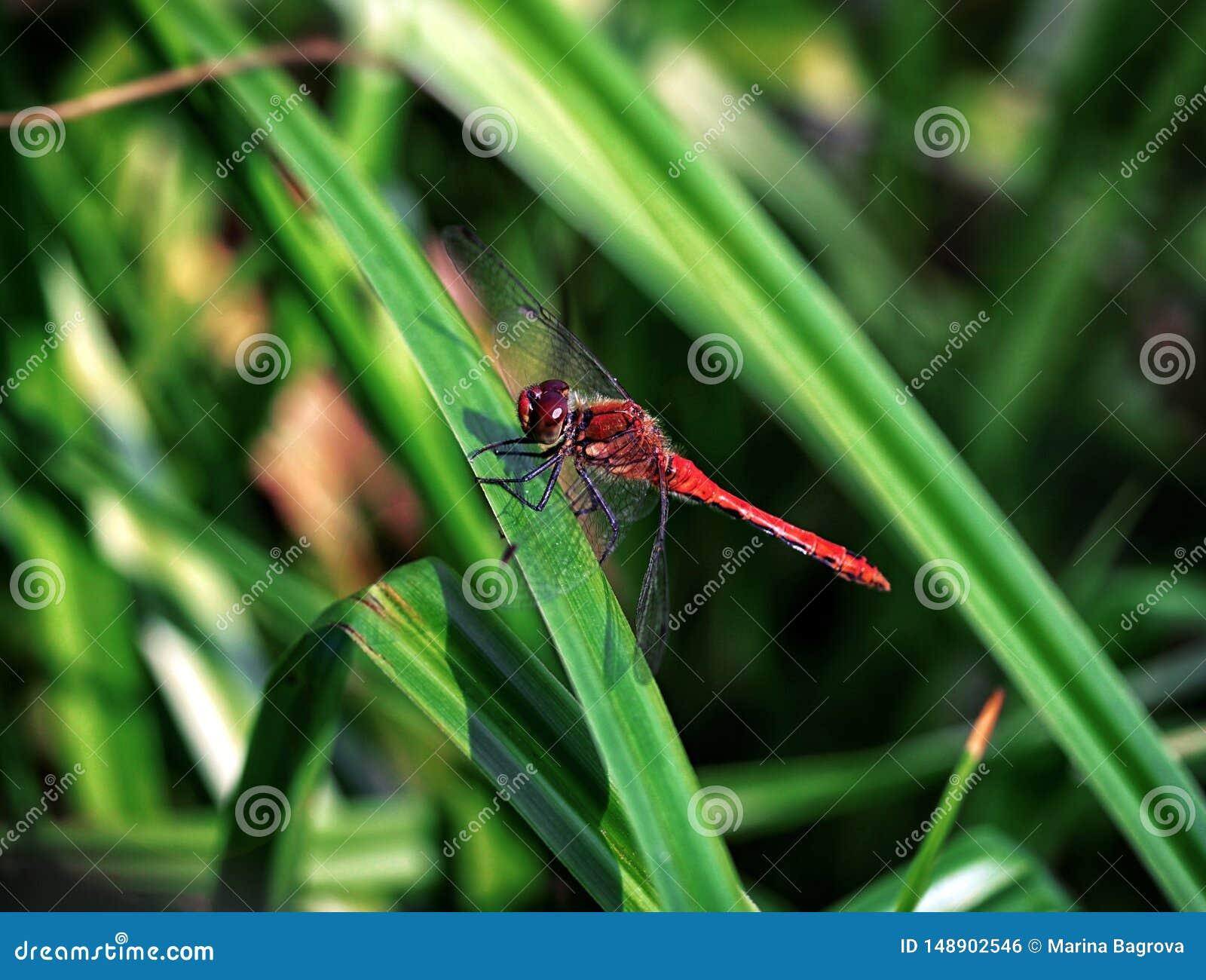 Härlig röd slända, Sympetrum sanguineum som vilar på ett grässtrå på en grön bakgrund nära dammet predatory kryp