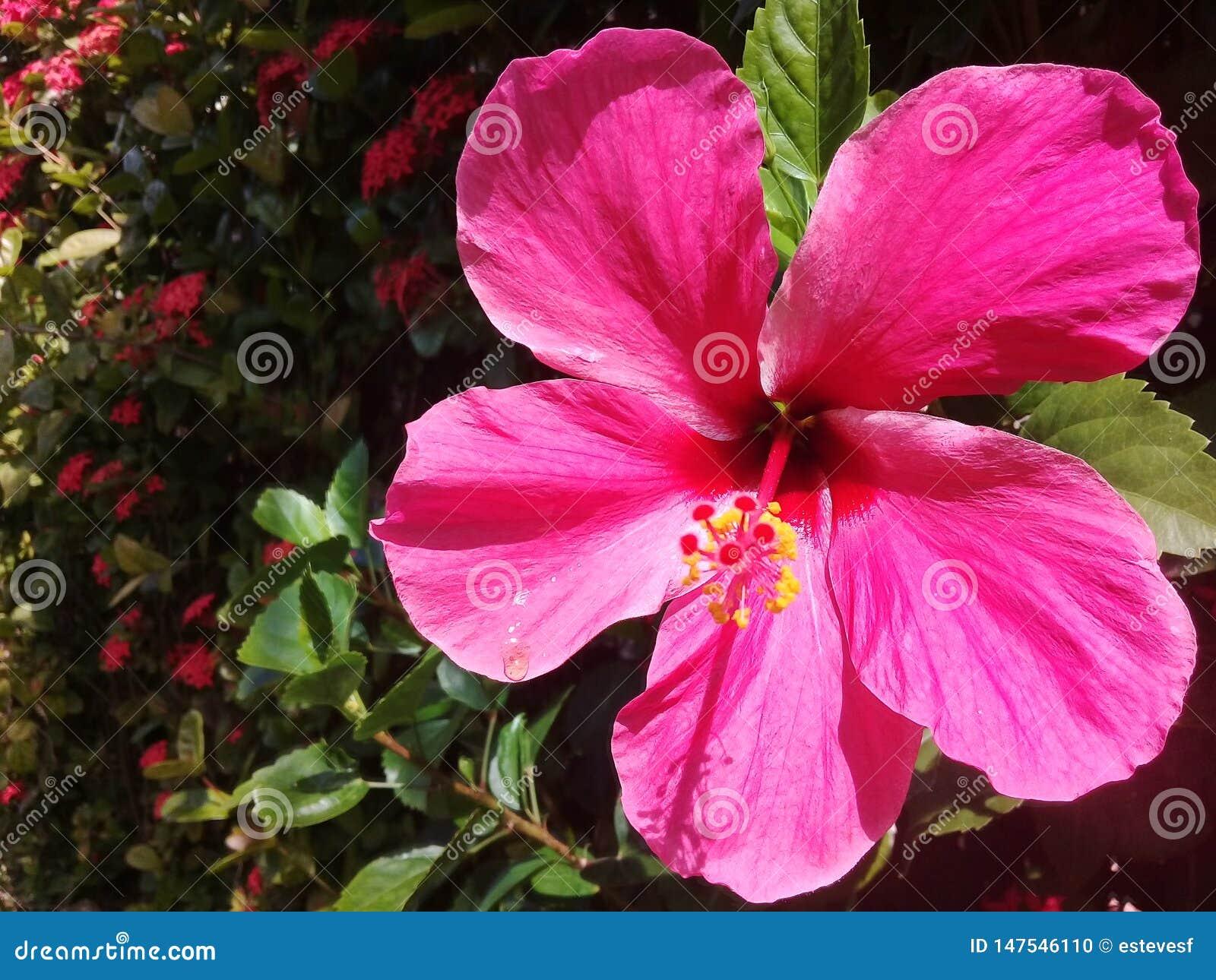 Härlig rosa hibiskus i en trädgård