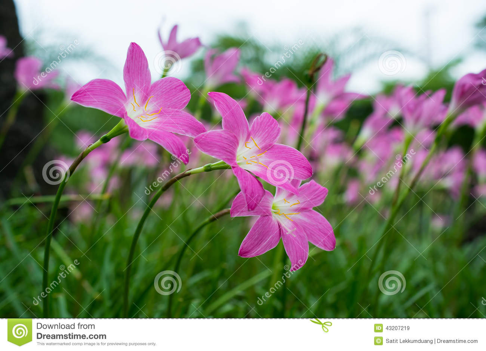 Download Härlig rosa lilja fotografering för bildbyråer. Bild av bostonian - 43207219