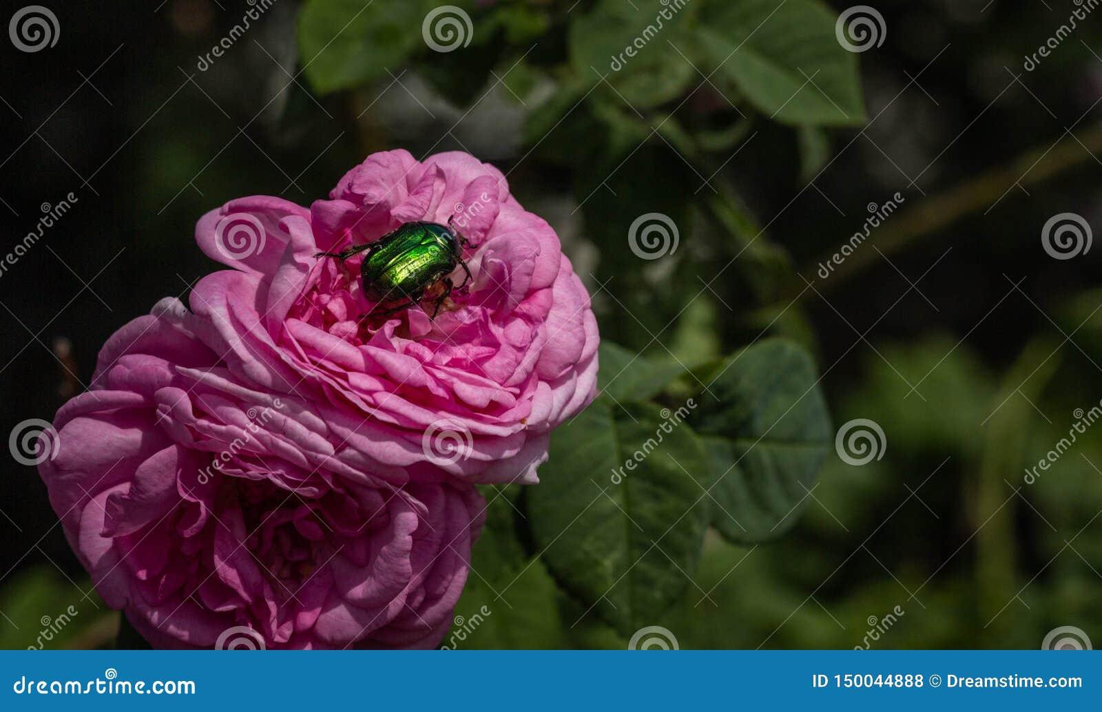 Härlig rosa ros och grön skalbagge på den närbild