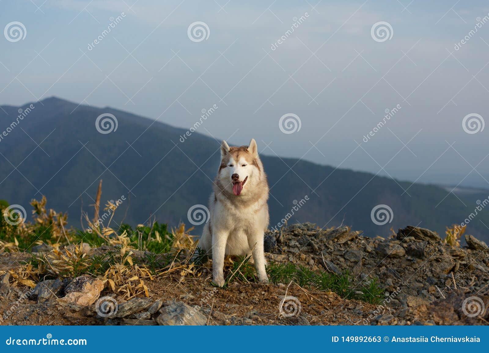 Härlig Siberian skrovlig hund som sitter på kullen i bakgrunden av berg och skogar