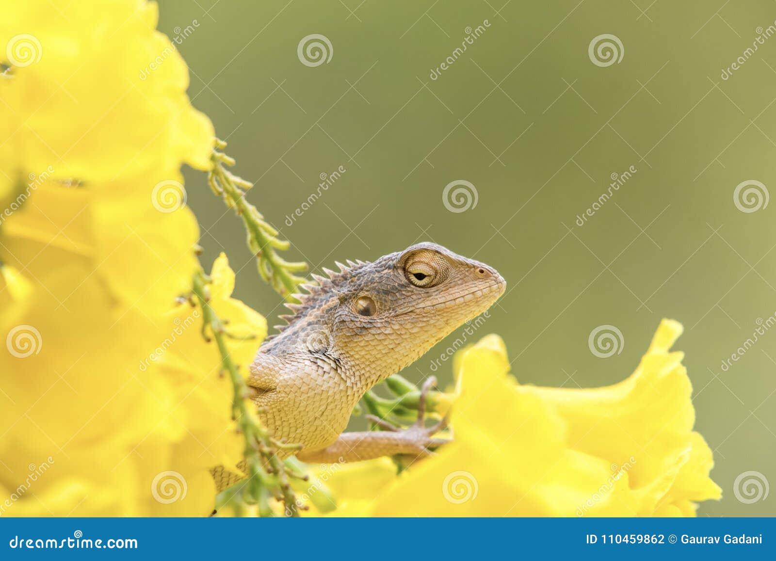 Härlig skäggig drakeödla in - mellan gula blommor