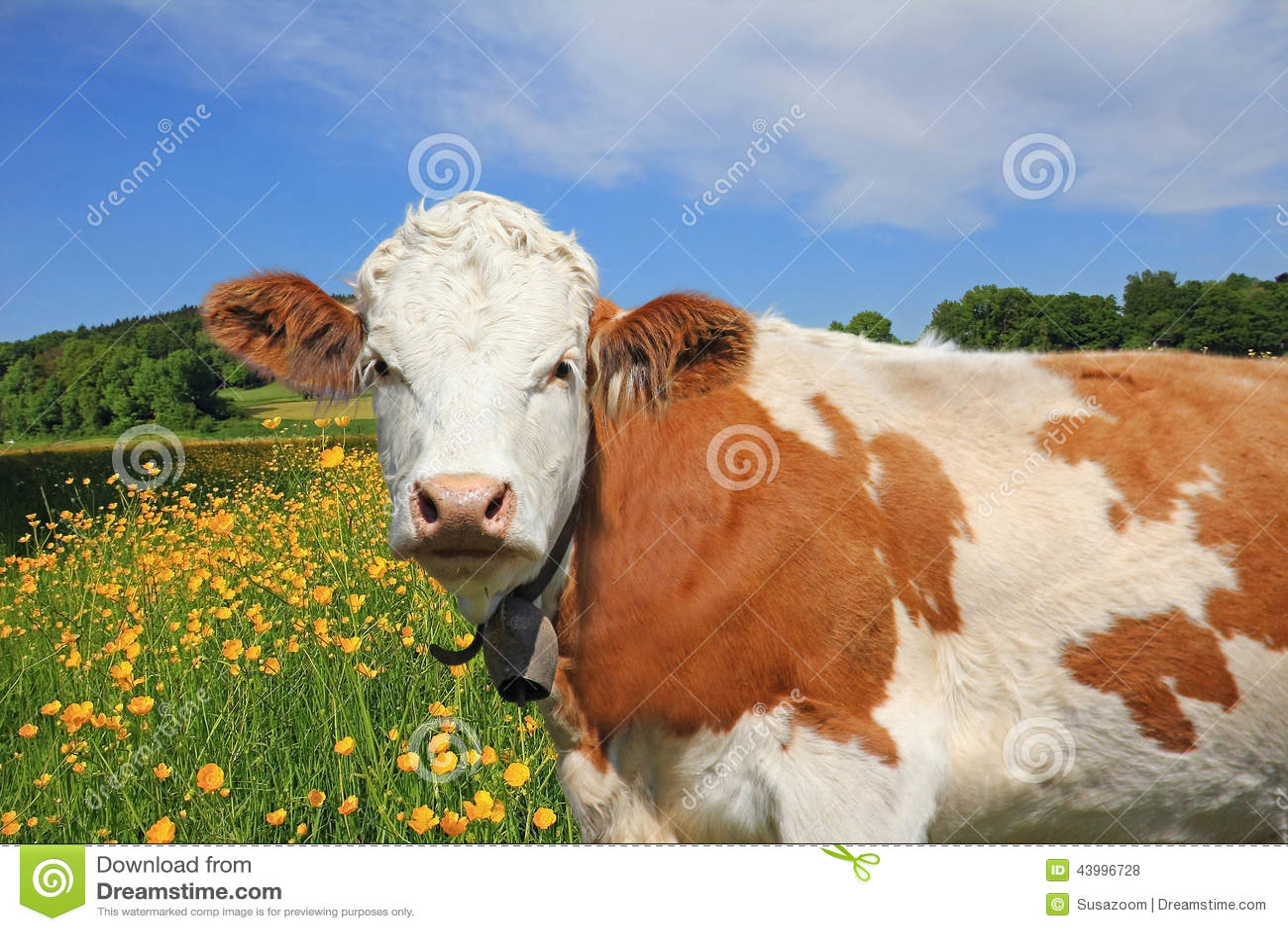 Härlig smörblommaäng och ko