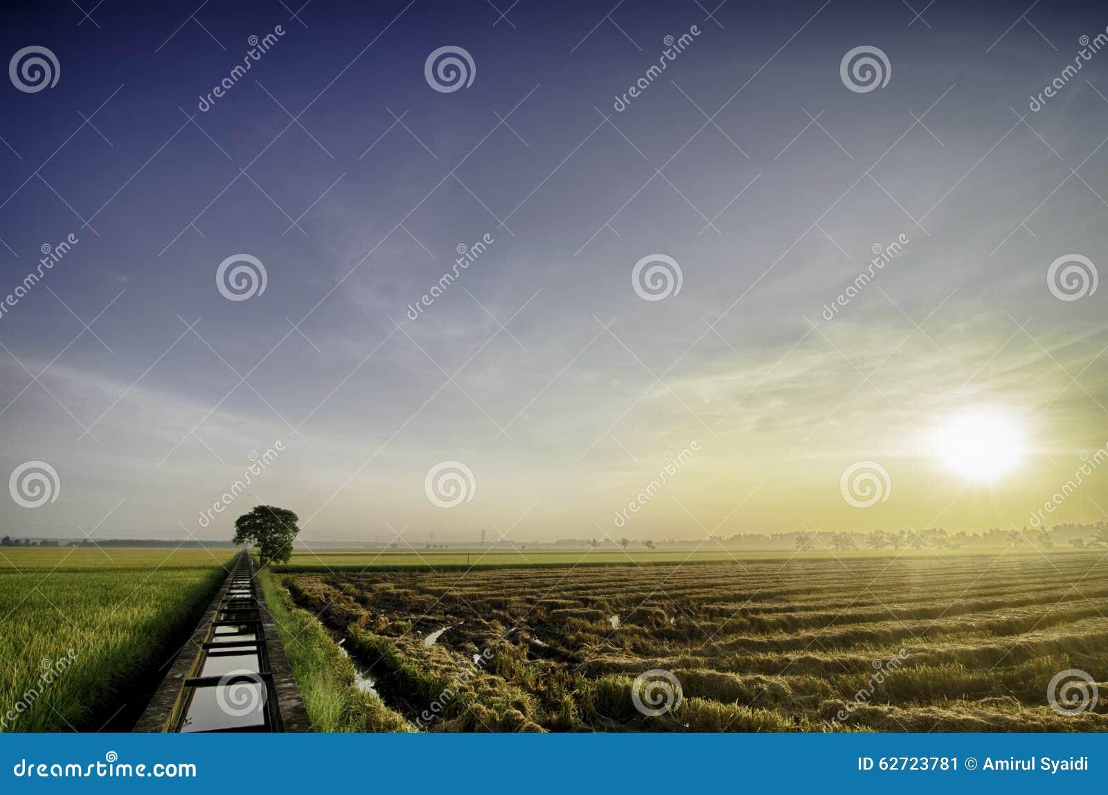 Härlig soluppgång på det gula risfältfältet, innan att skörda töm utrymme till rätten enkelt träd och konkret vattenkanal