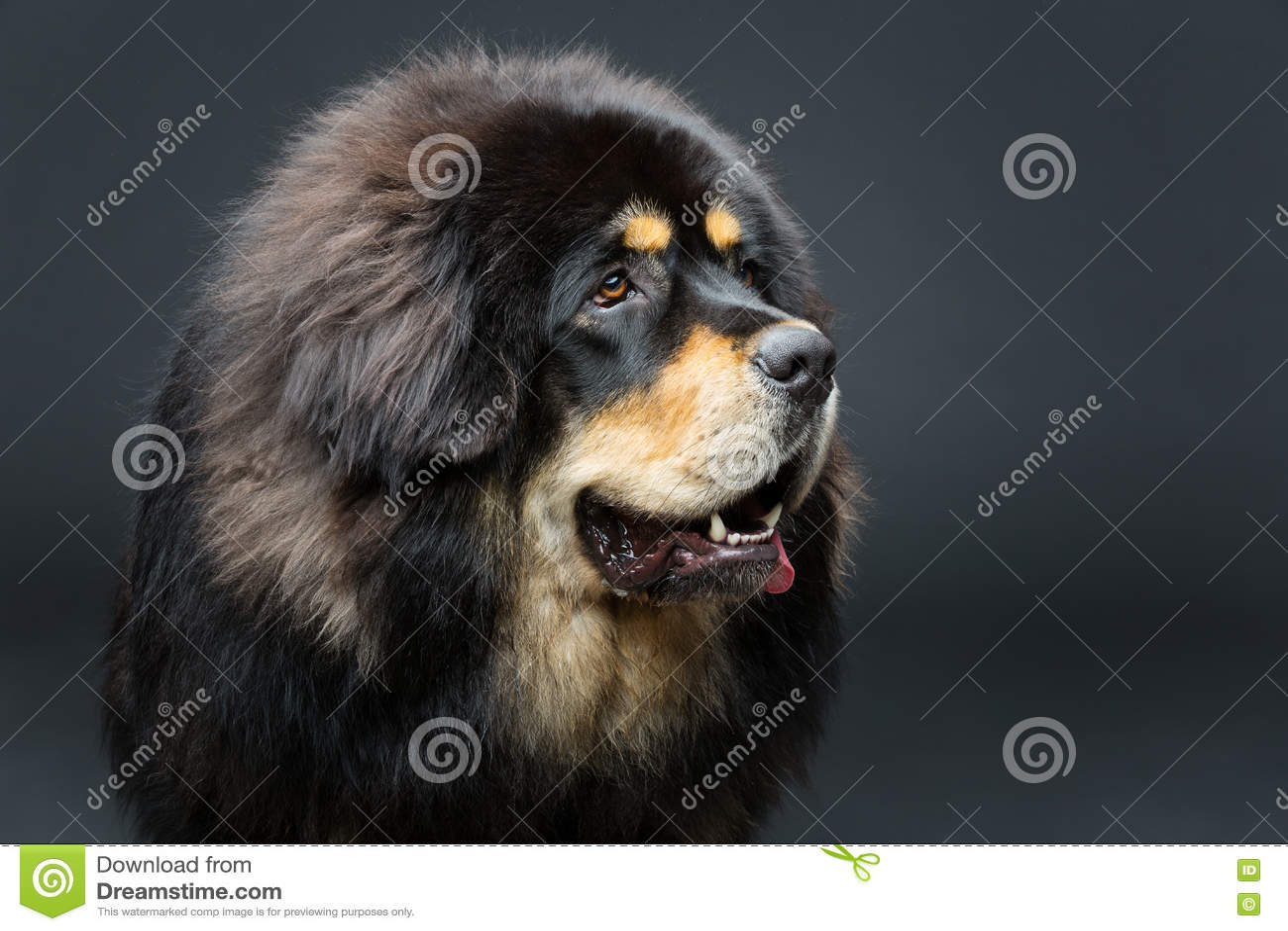 Härlig stor hund för tibetan mastiff