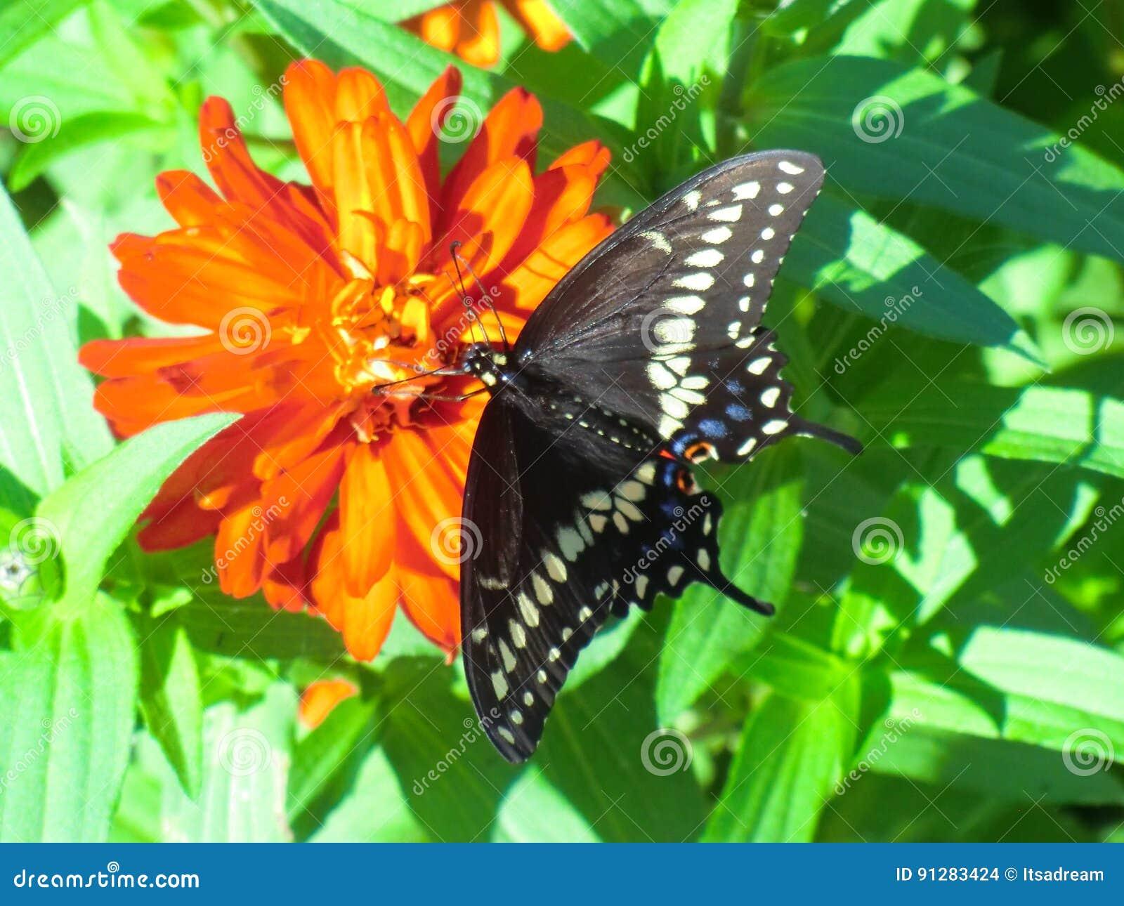 Härlig svart Swallowtail fjäril på orange zinnia