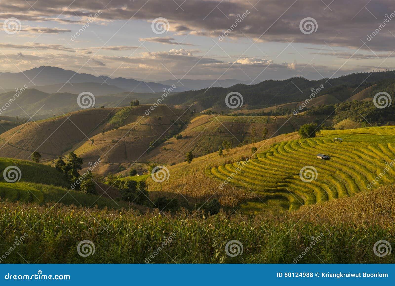 Härlig terrasserad risfält i plockningsäsong Mae Cham Chaingmai, Thailand