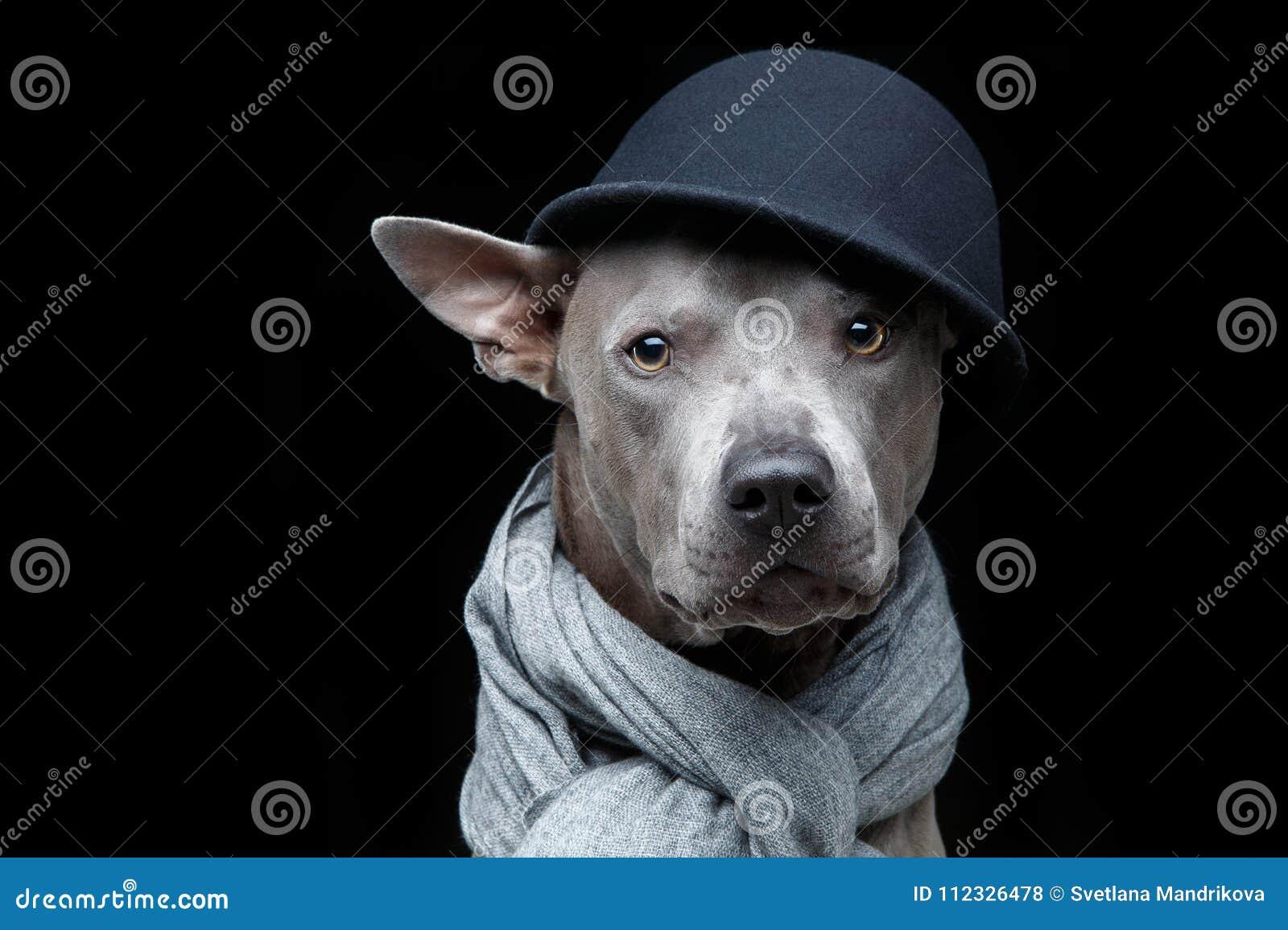 Härlig thai ridgebackhund i lock och halsduk