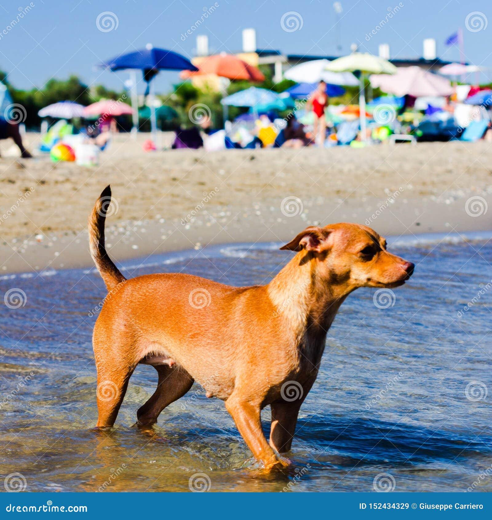 Härlig tillfällig hund som söker efter en väg att nå dess ägare i vattnet på en fri strand