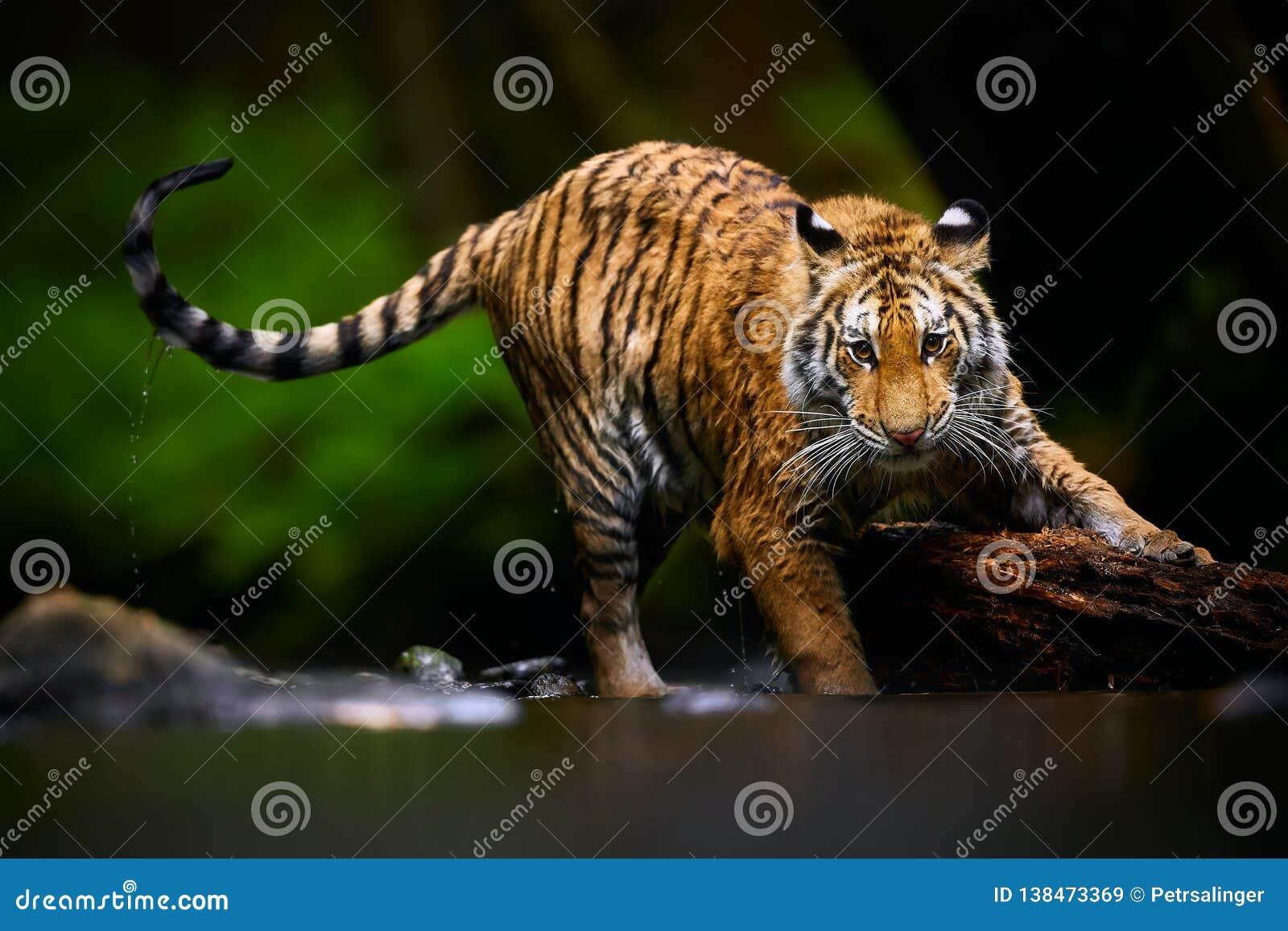 Härlig ung Siberian tiger - den Pantheratigris altaicaen spelar i floden med stort trä Handlingdjurlivplats