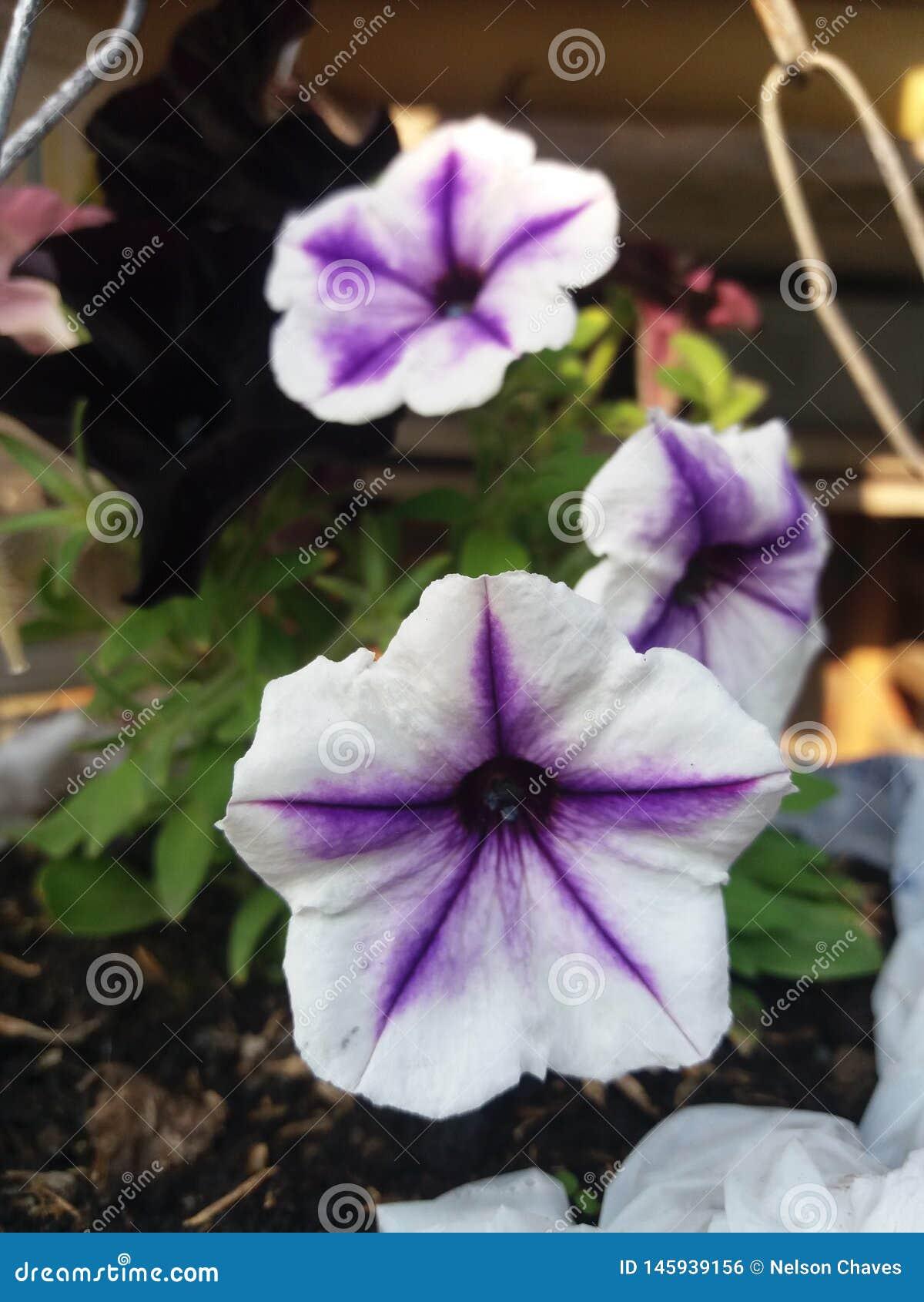 Härlig växt för vit blomma med lilan