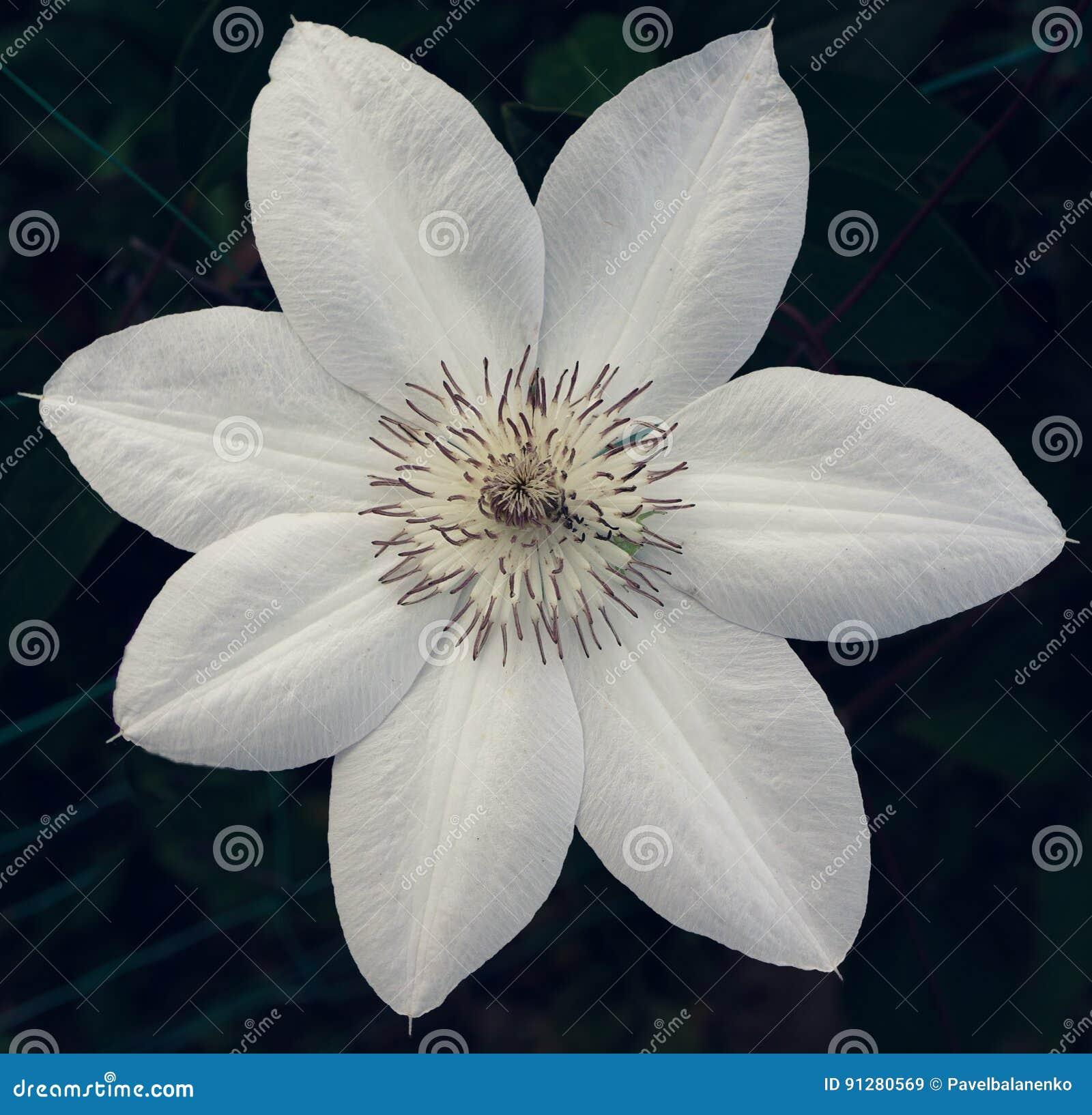 Härlig vit blomma på mörk bakgrund
