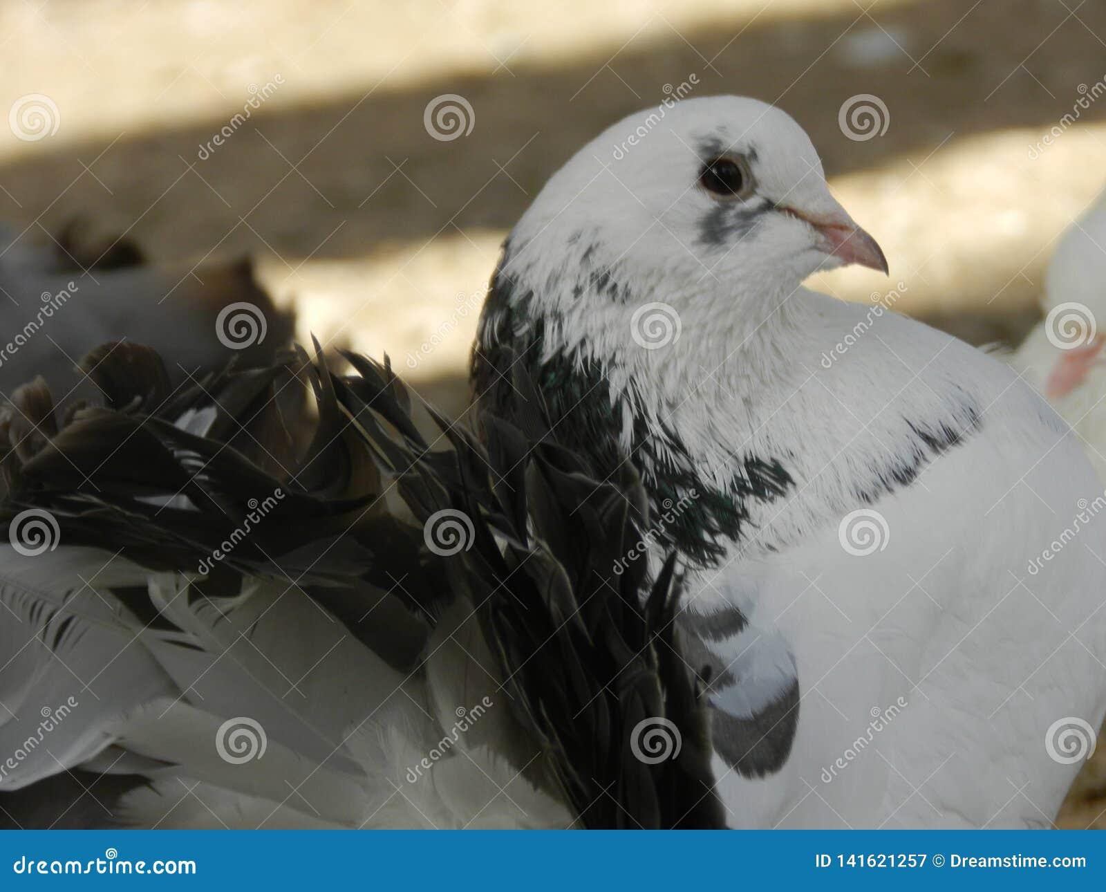 Härlig vit svart duva i zooträdgården