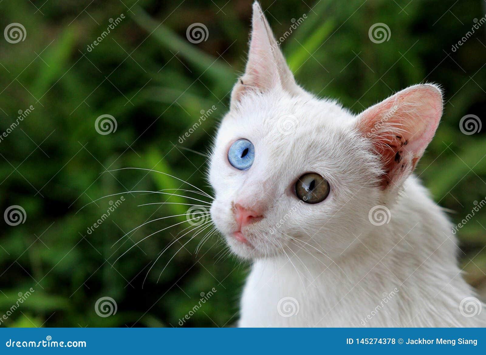 Härlig vit udda-synad katt