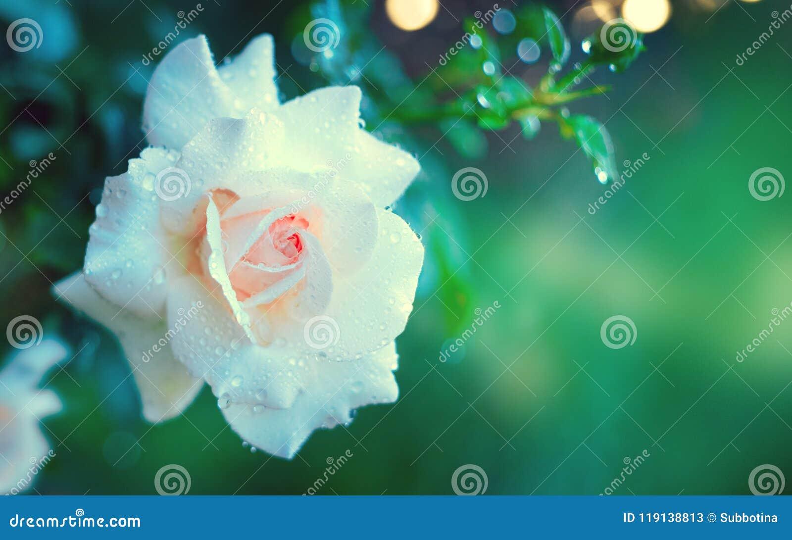 Härlig vitros som blommar i sommarträdgård Växa för blommor för vita rosor utomhus Natur som blomstrar blomman