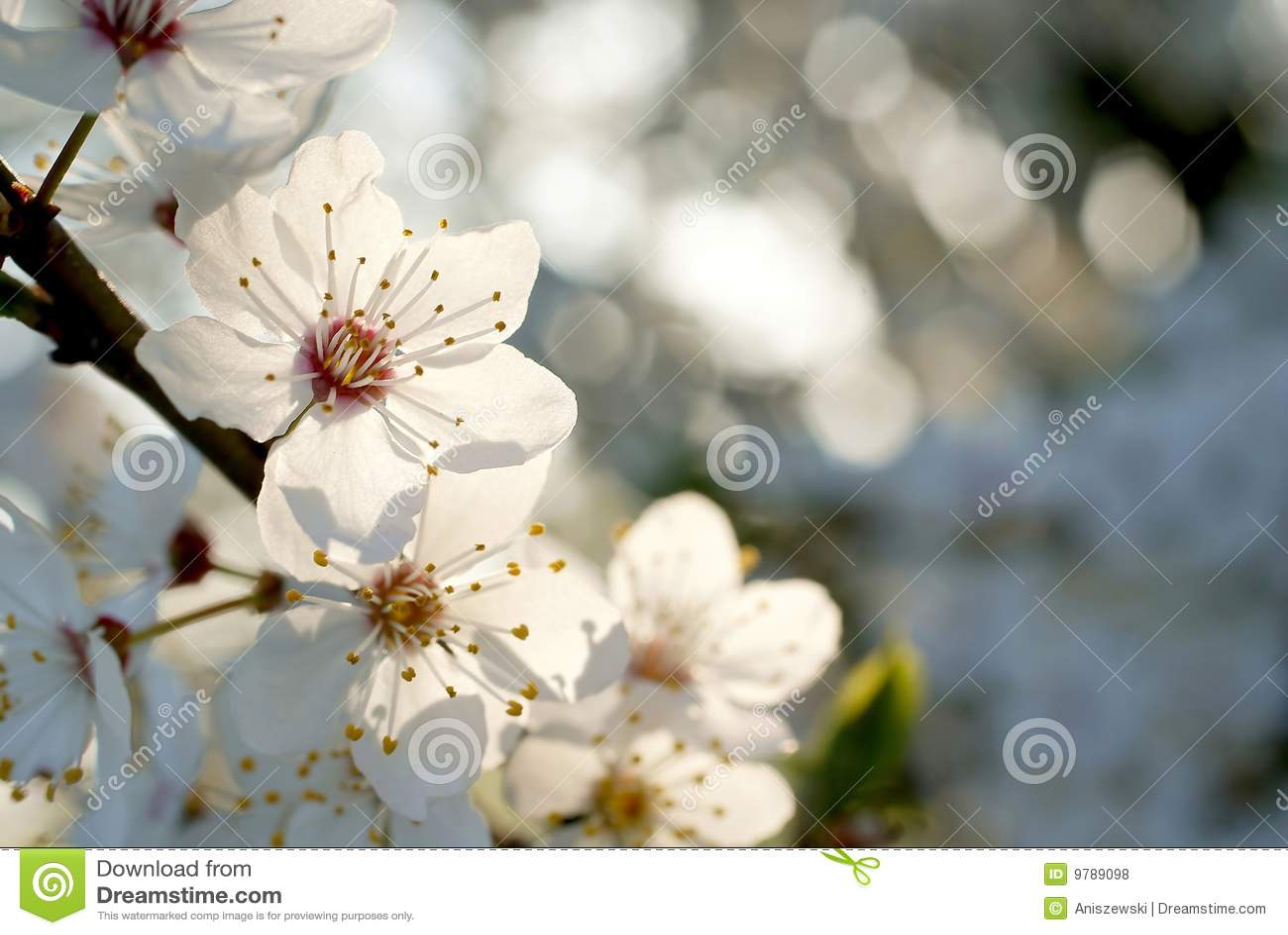 Härlig white för blommafjädertree