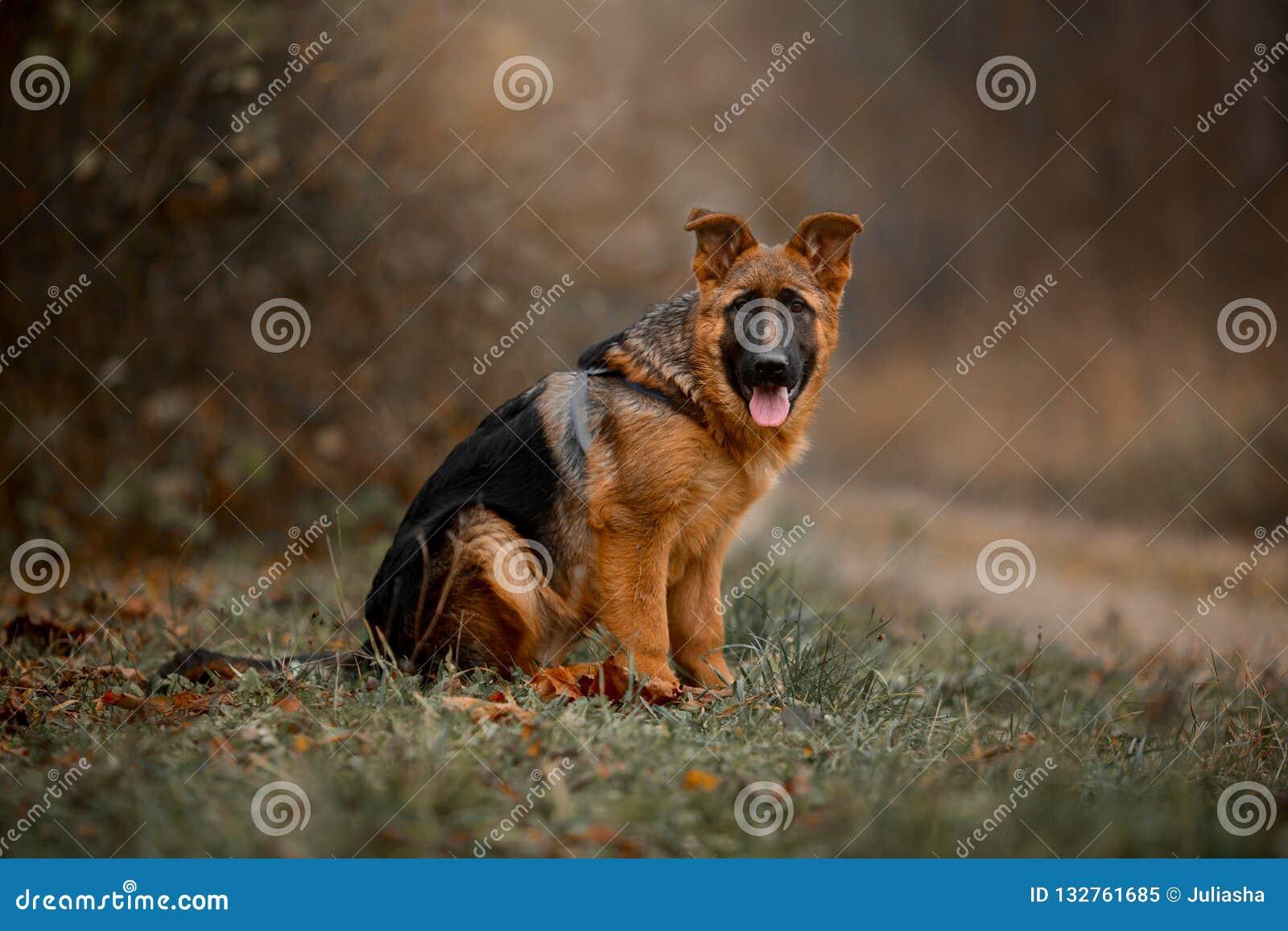 Härlig yttre utomhus- stående av den unga hunden för tysk herde