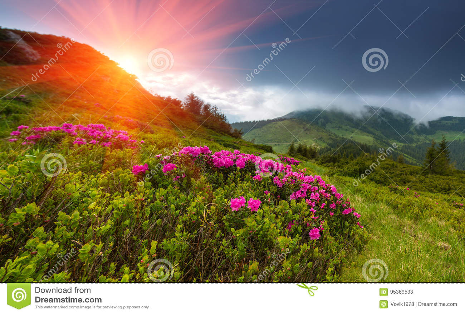 Härliga berg för solnedgång på våren Sikt av kullar som täckas med nya blomningrododendrons