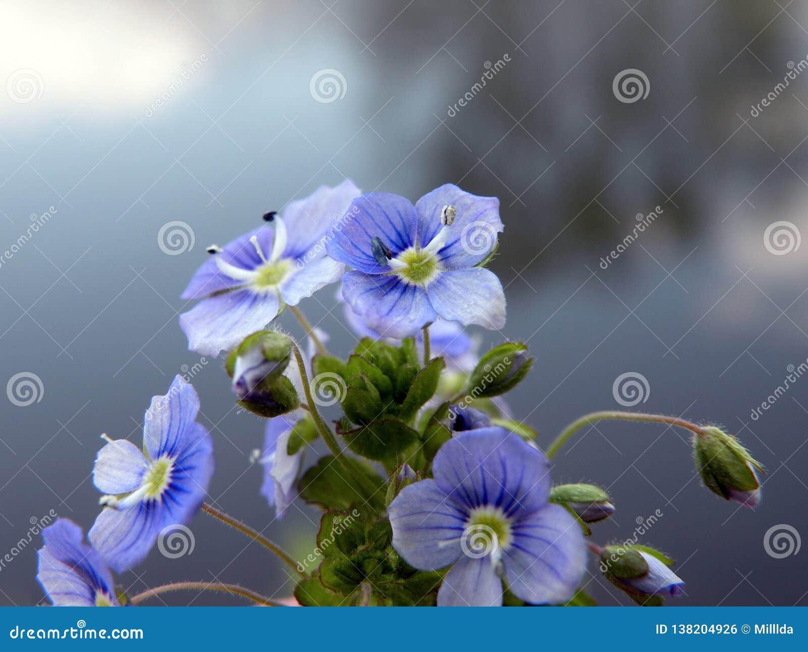 Härliga blåa lösa blommor, Litauen