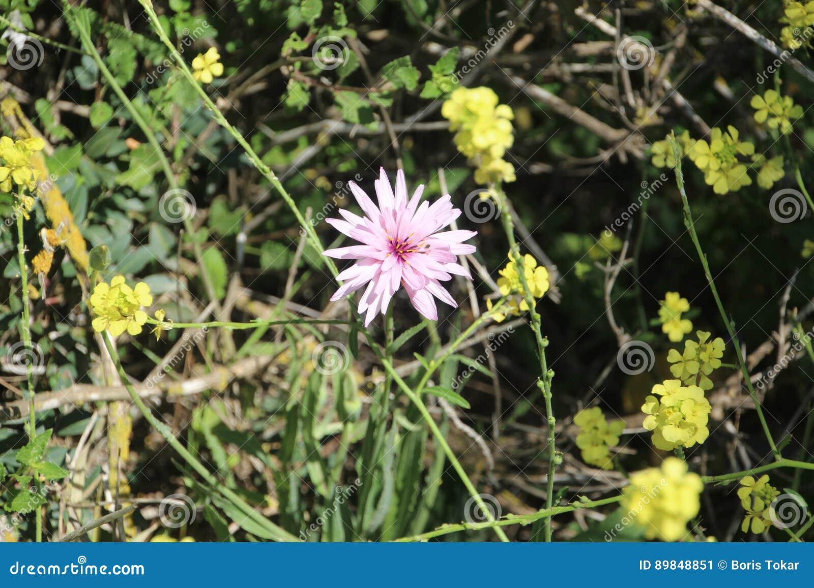 Härliga blommor i Israel Mount Gilboa Carmel