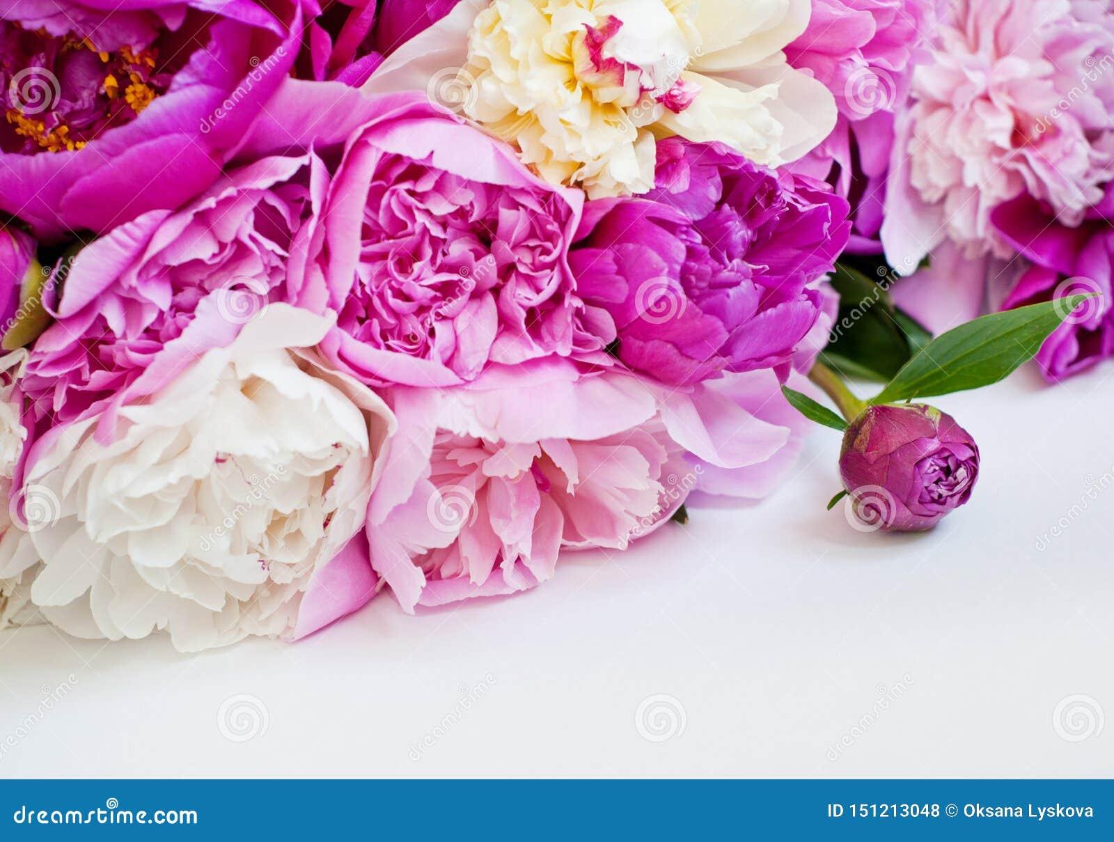 Härliga blommor, pioner på vit bakgrund Den eleganta buketten av m?nga pioner av rosa f?rger f?rgar t?tt upp