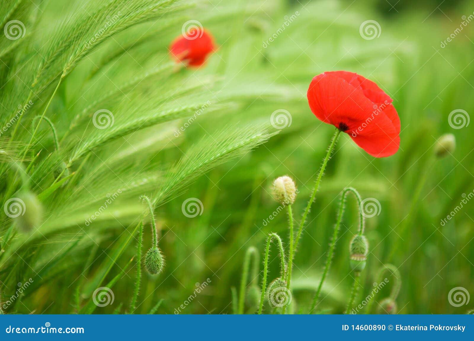 Härliga blomstra vallmopiggar