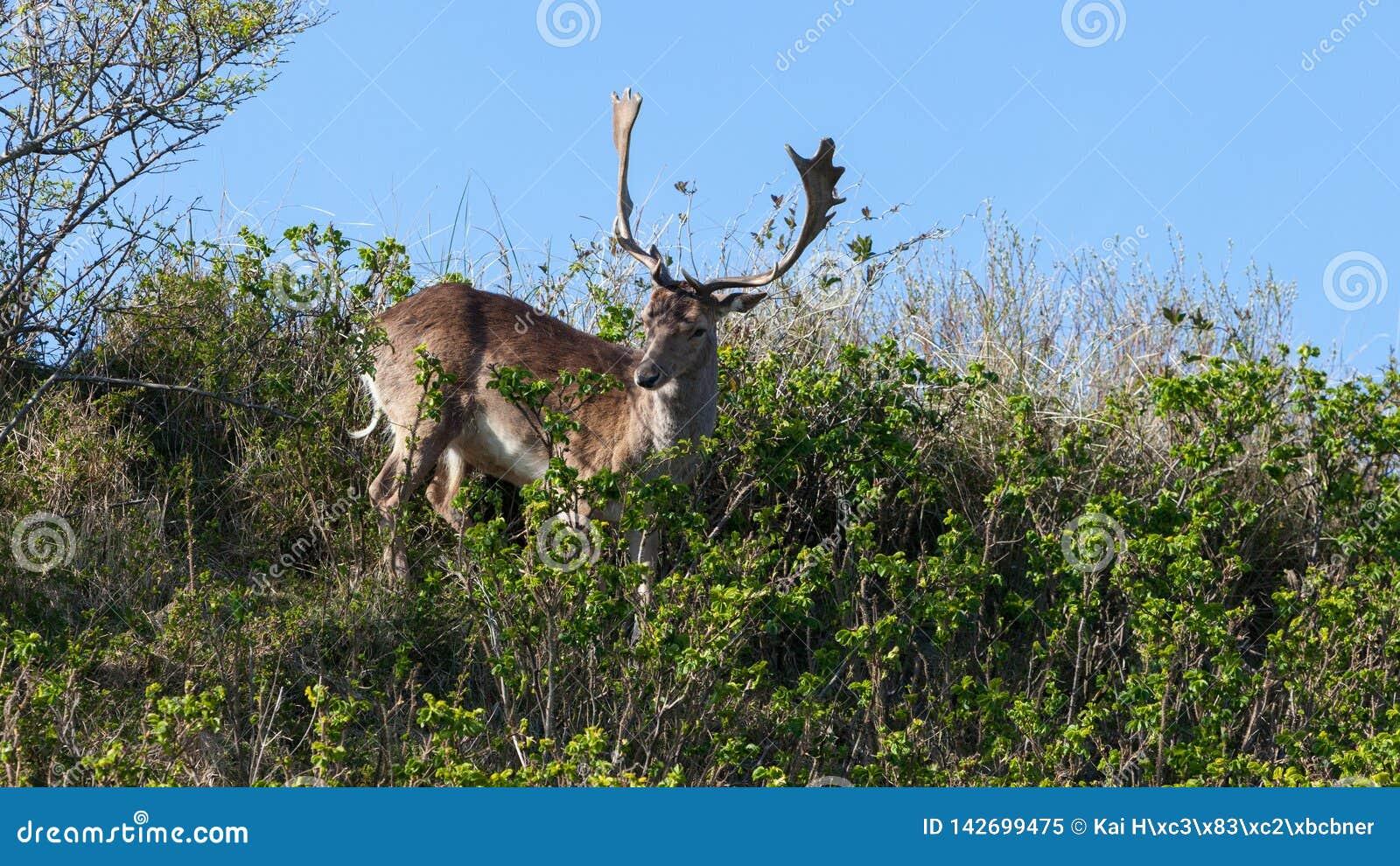Härliga bruna prickiga dovhjortar som står mellan buskar på en dyn