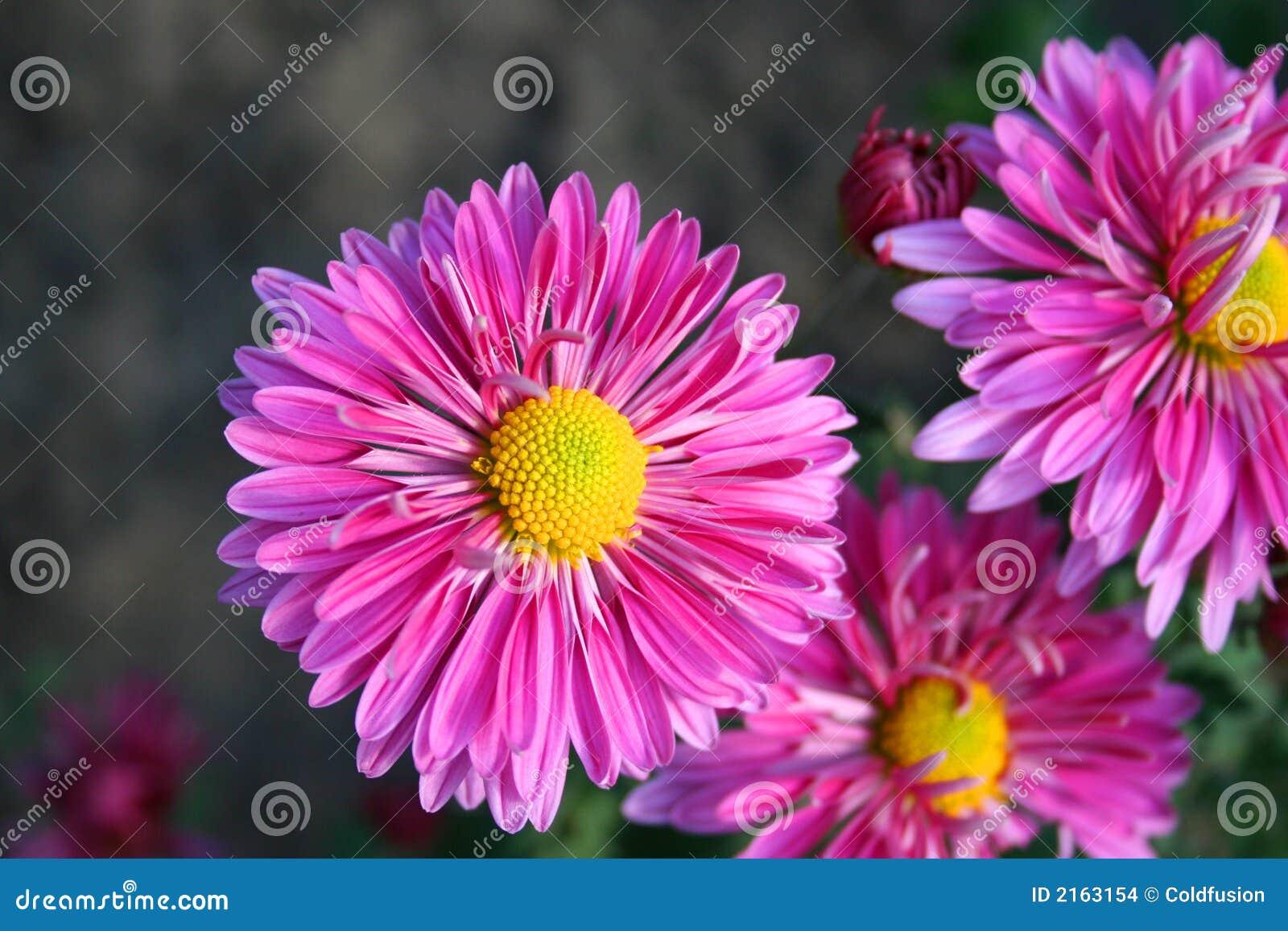 Härliga chrysanthemas