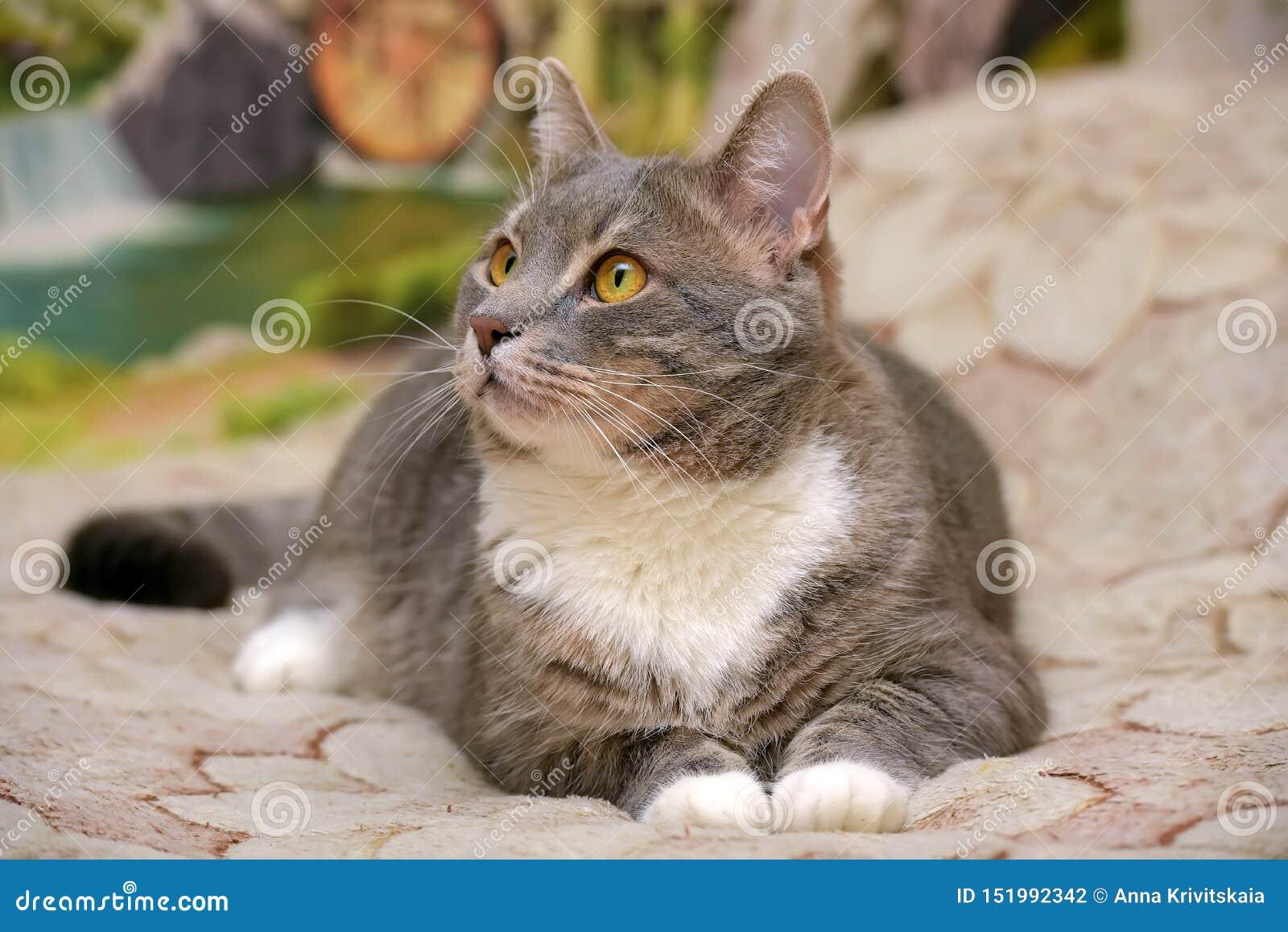 Härliga grå färger med den vita stora inhemska katten