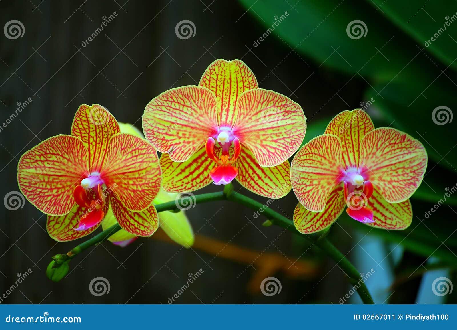 Härliga guld- gula phalaenopsisorkidér