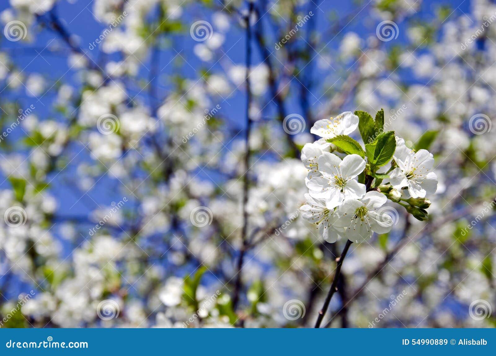 Härliga körsbärsröda blomningar i lantgårdträdgård